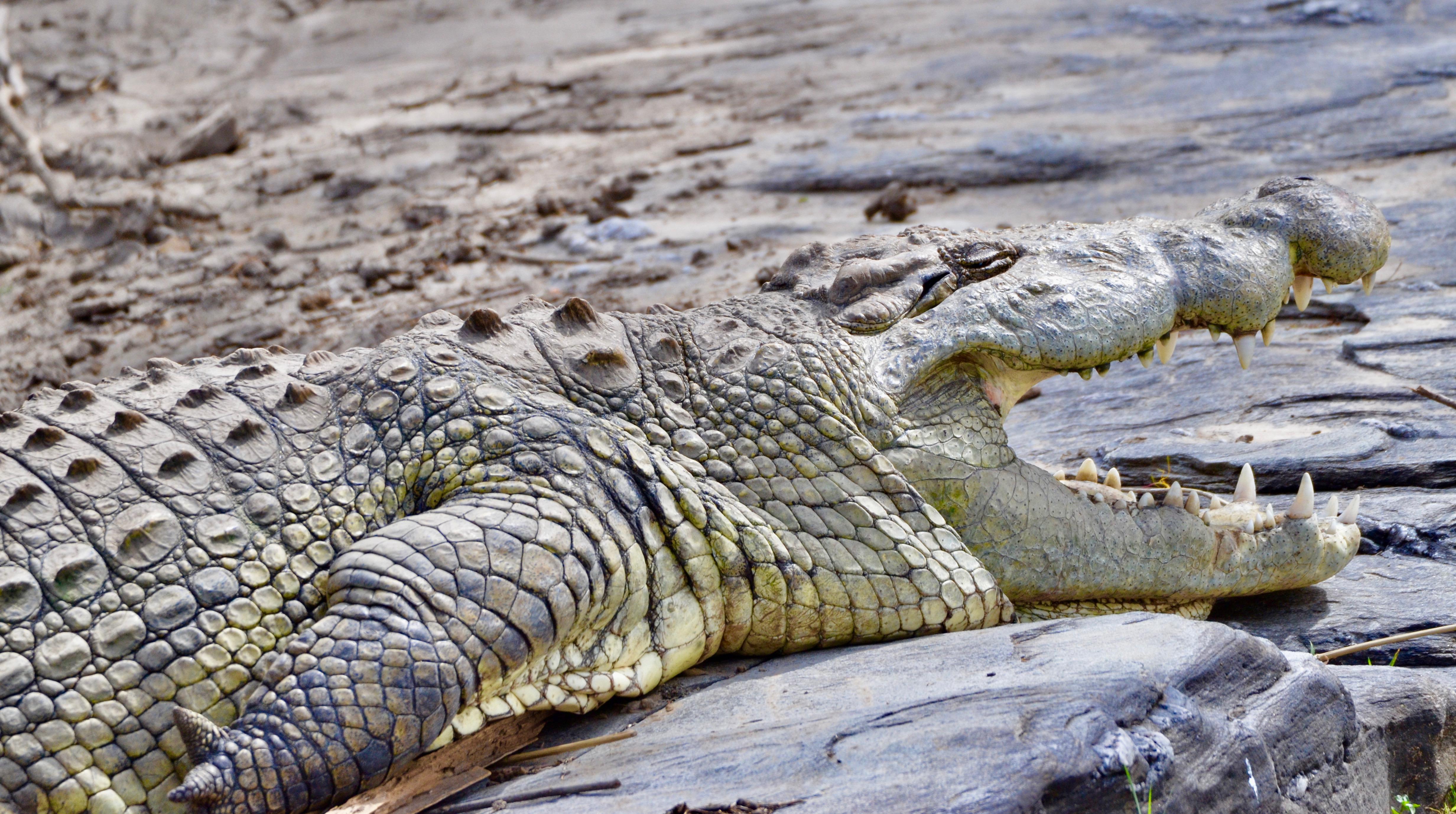 Smiling Croc, Masai Mara