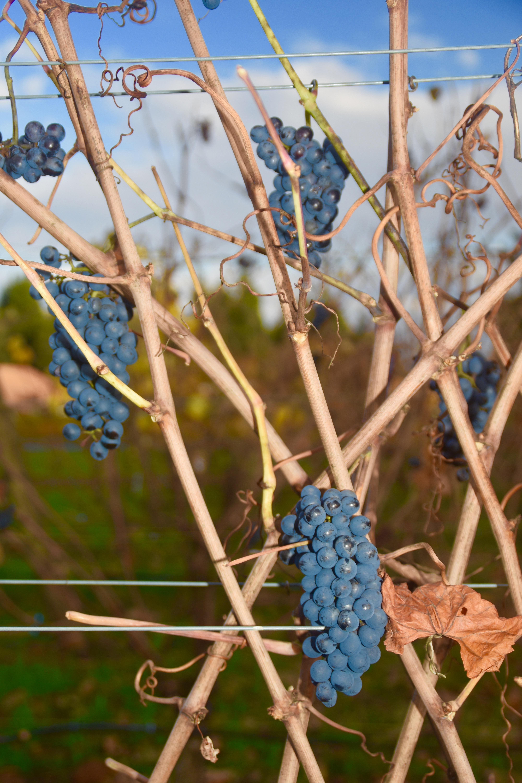 Unpicked Grapes