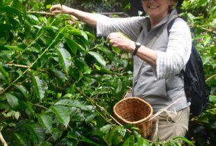 Picking Coffee, El Ocaso Finca