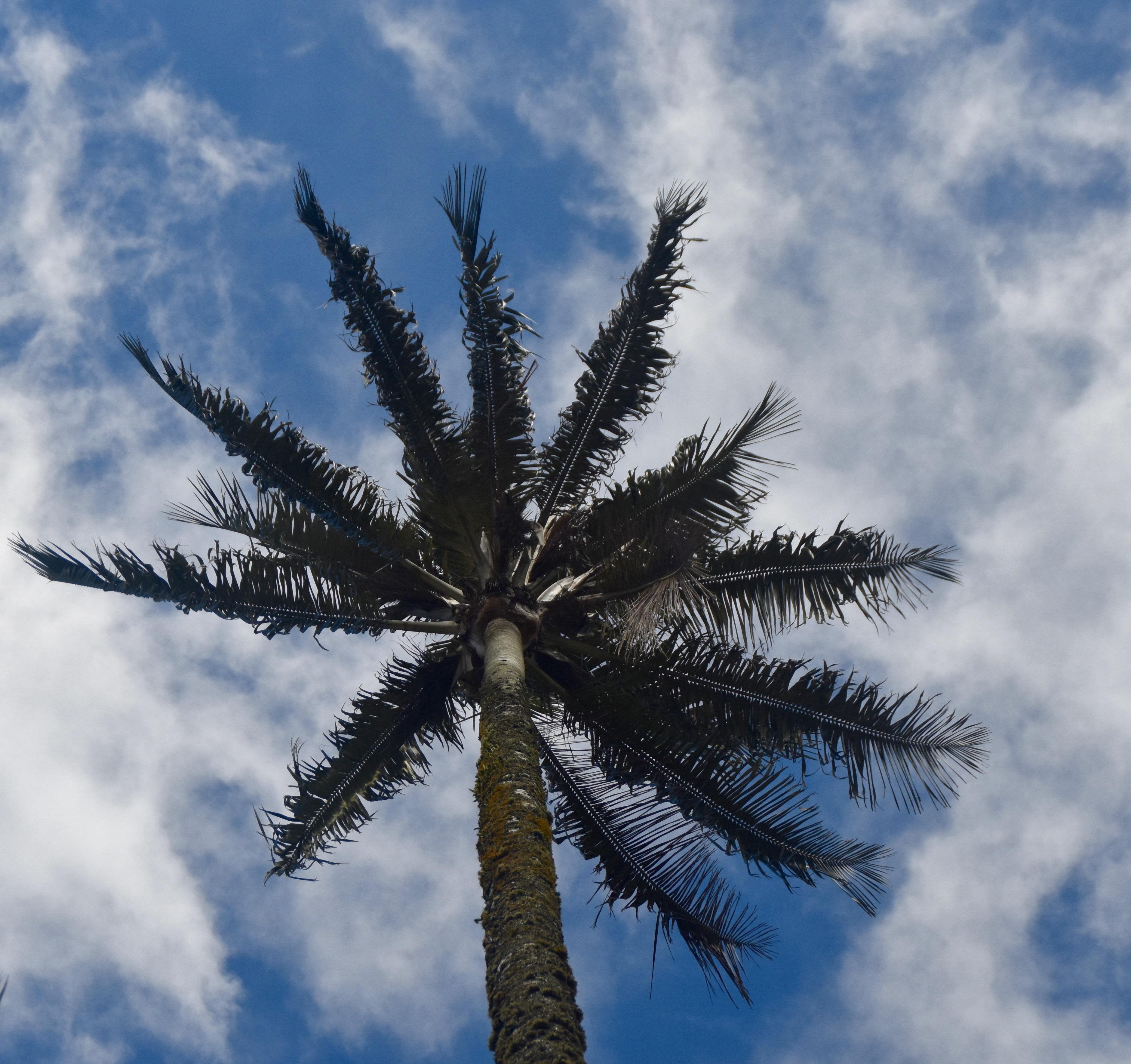 Wax Palm, Valle de Cocora