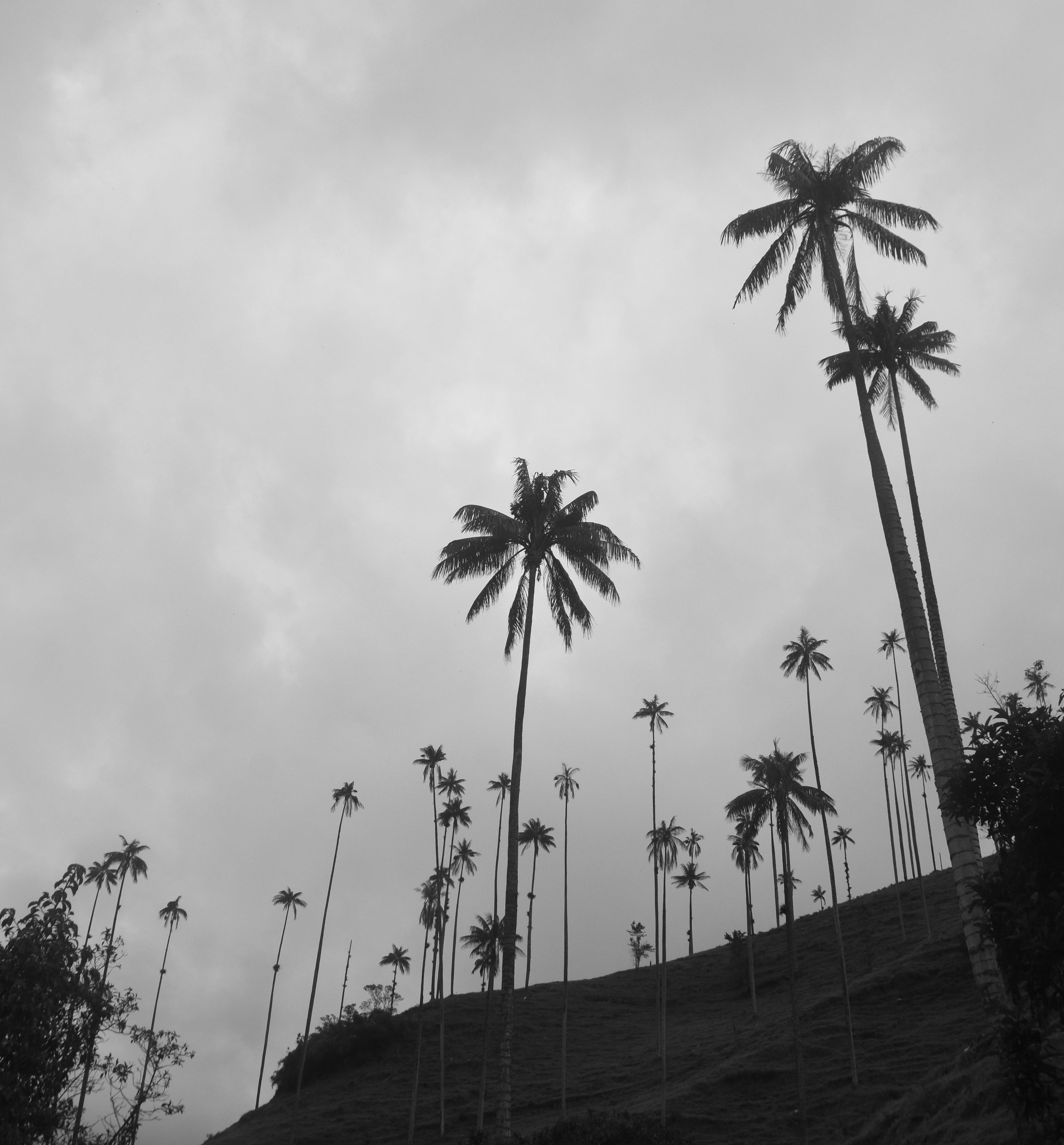 Wax Palms in B&W
