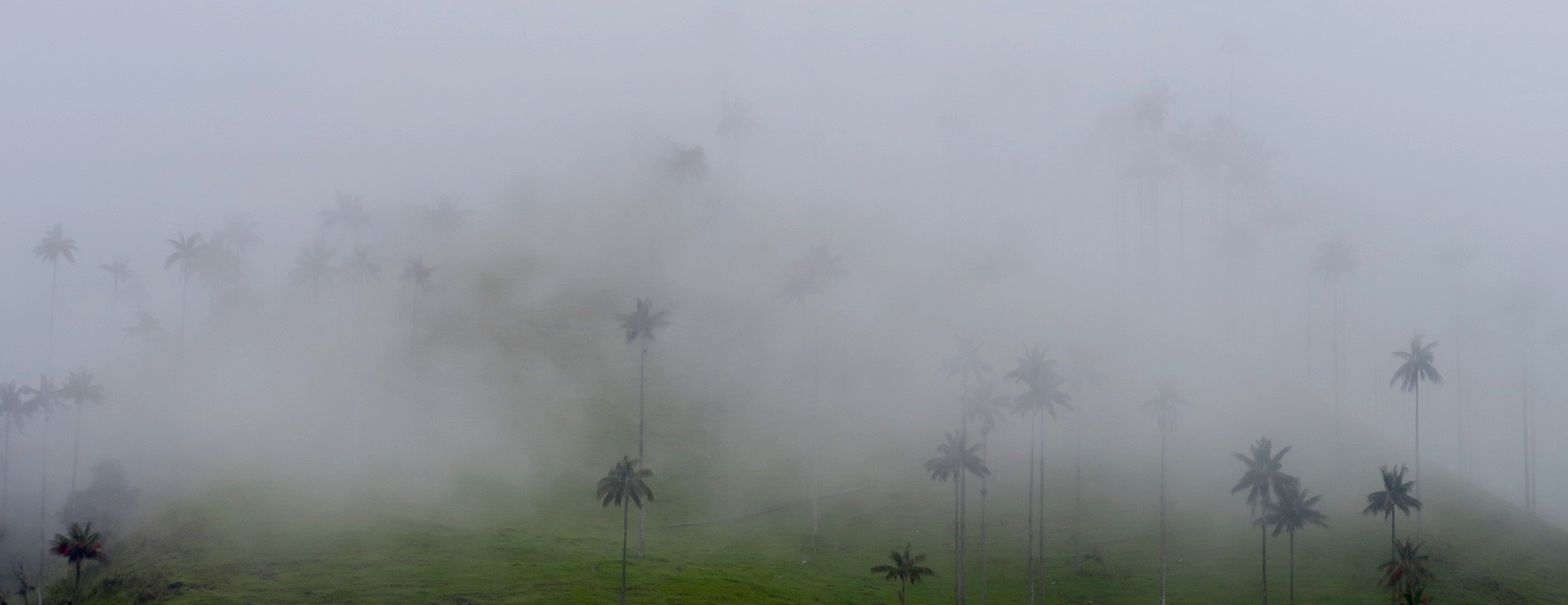 Wax Palms in the Fog, Valle de Cocora