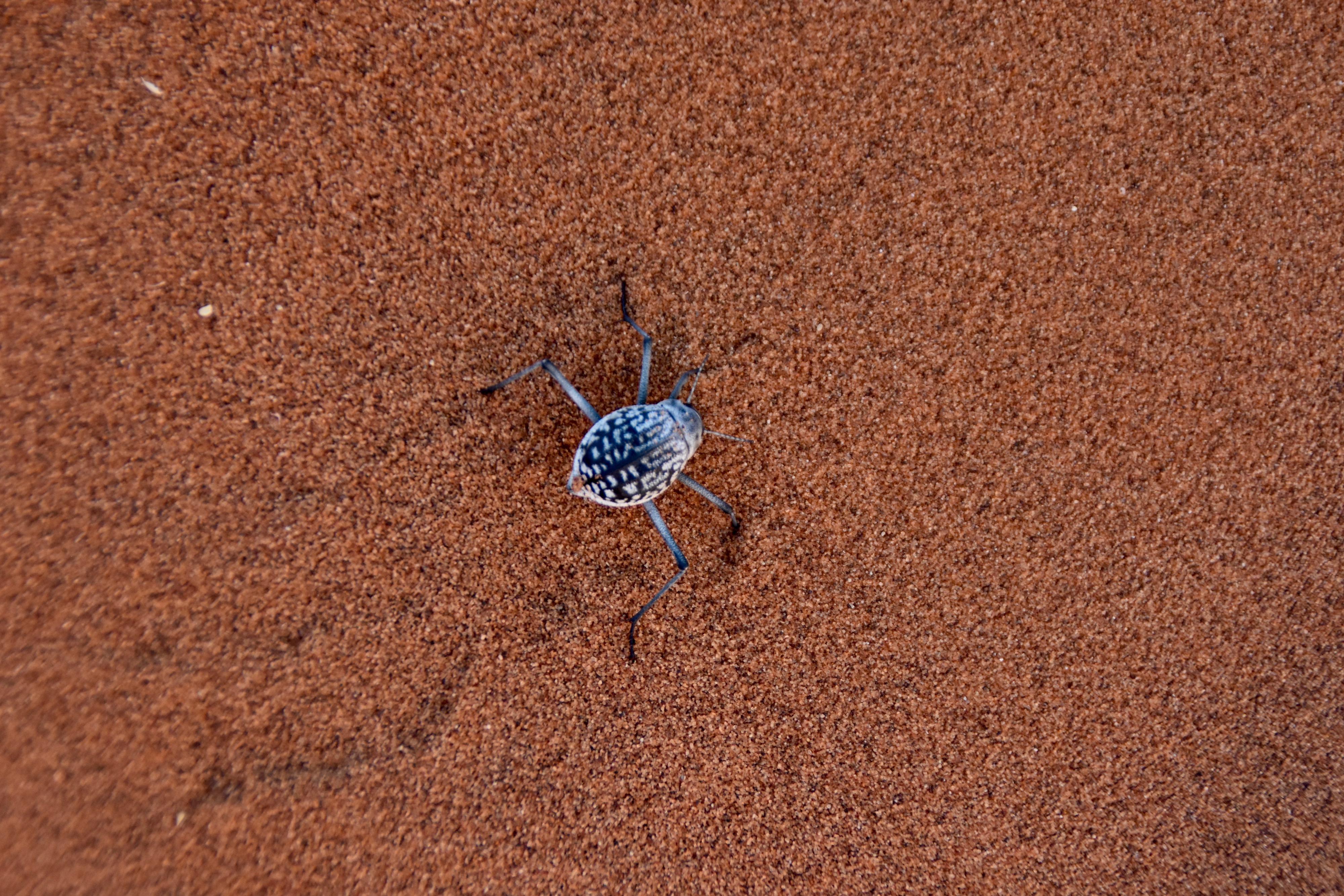 Darkling Beetle, Sossusvlei