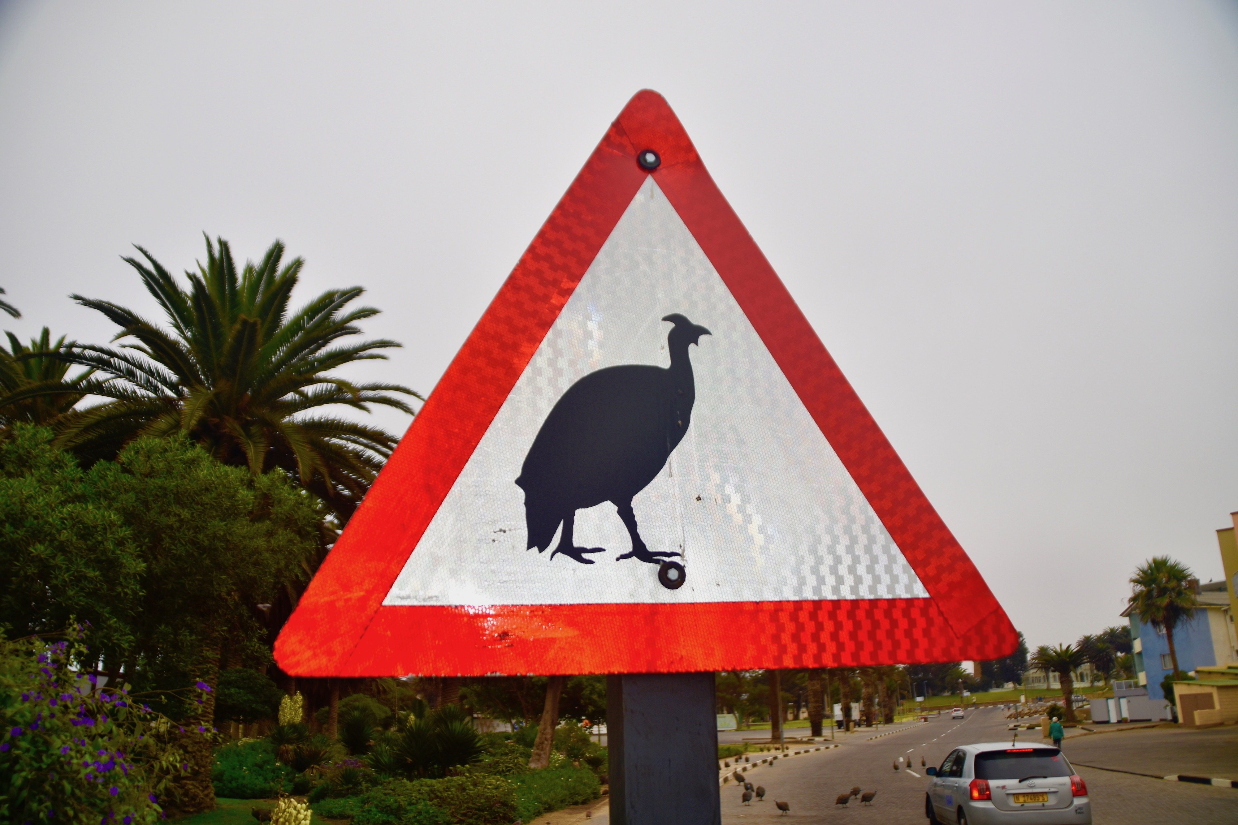 Guinea Fowl Crossing, Swakopmund