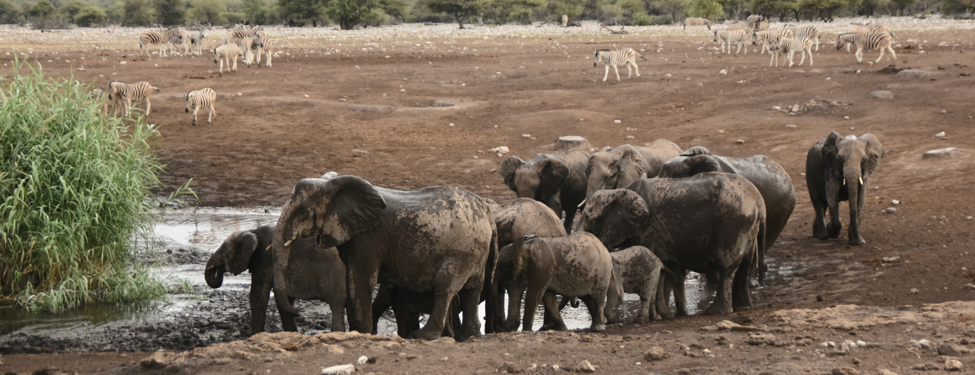 Elephants at Etosha Water Holes