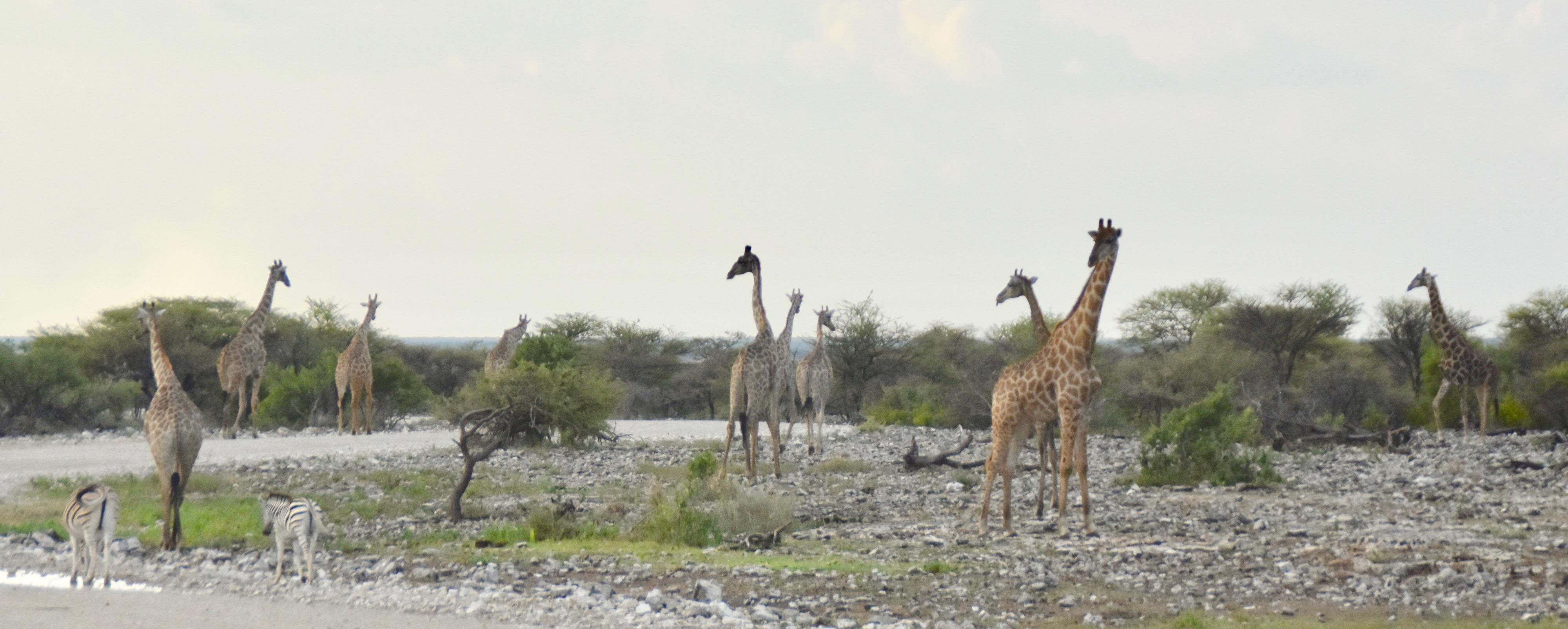 Giraffes at Etosha Water Holes