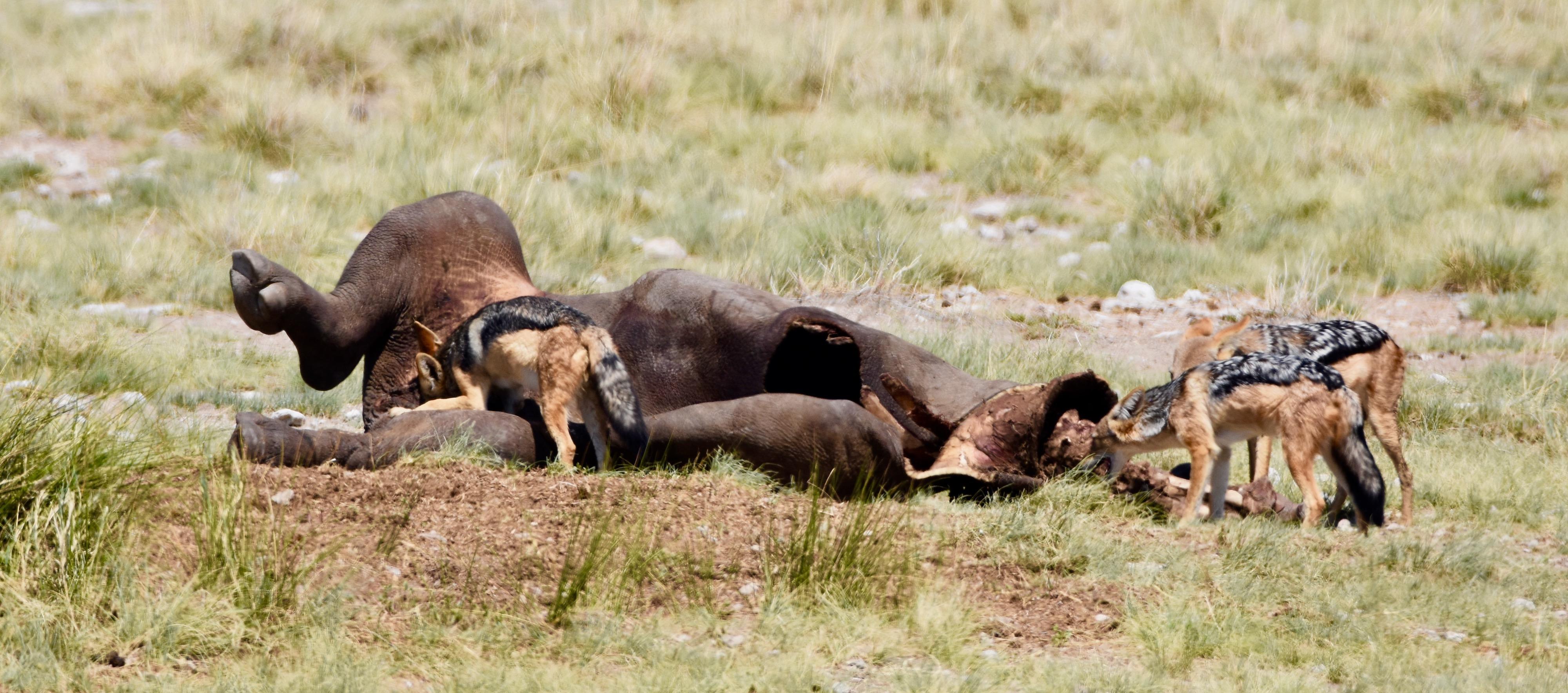 Etosha Black Rhino Kill