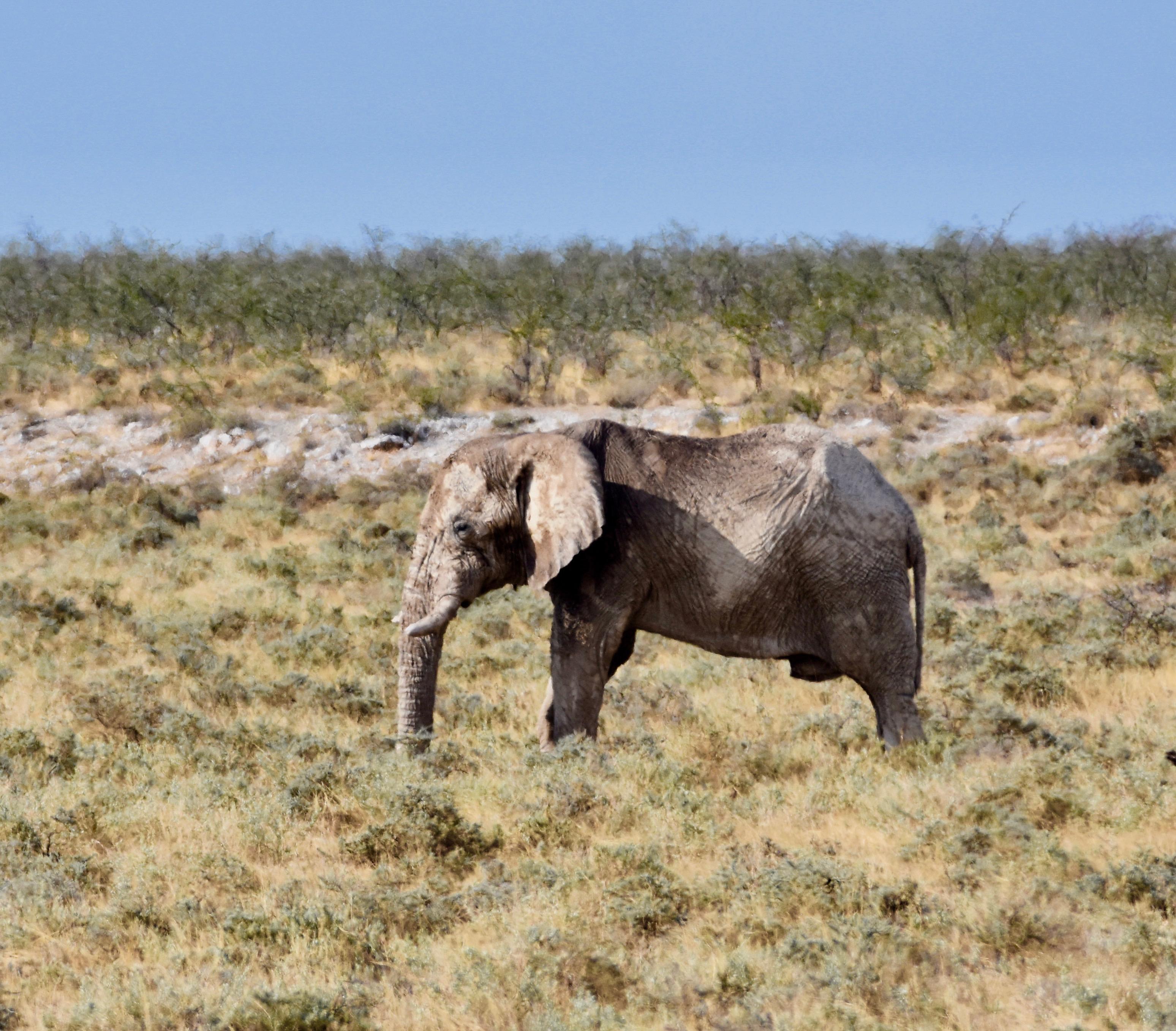 Old Bull Elephant, Etosha