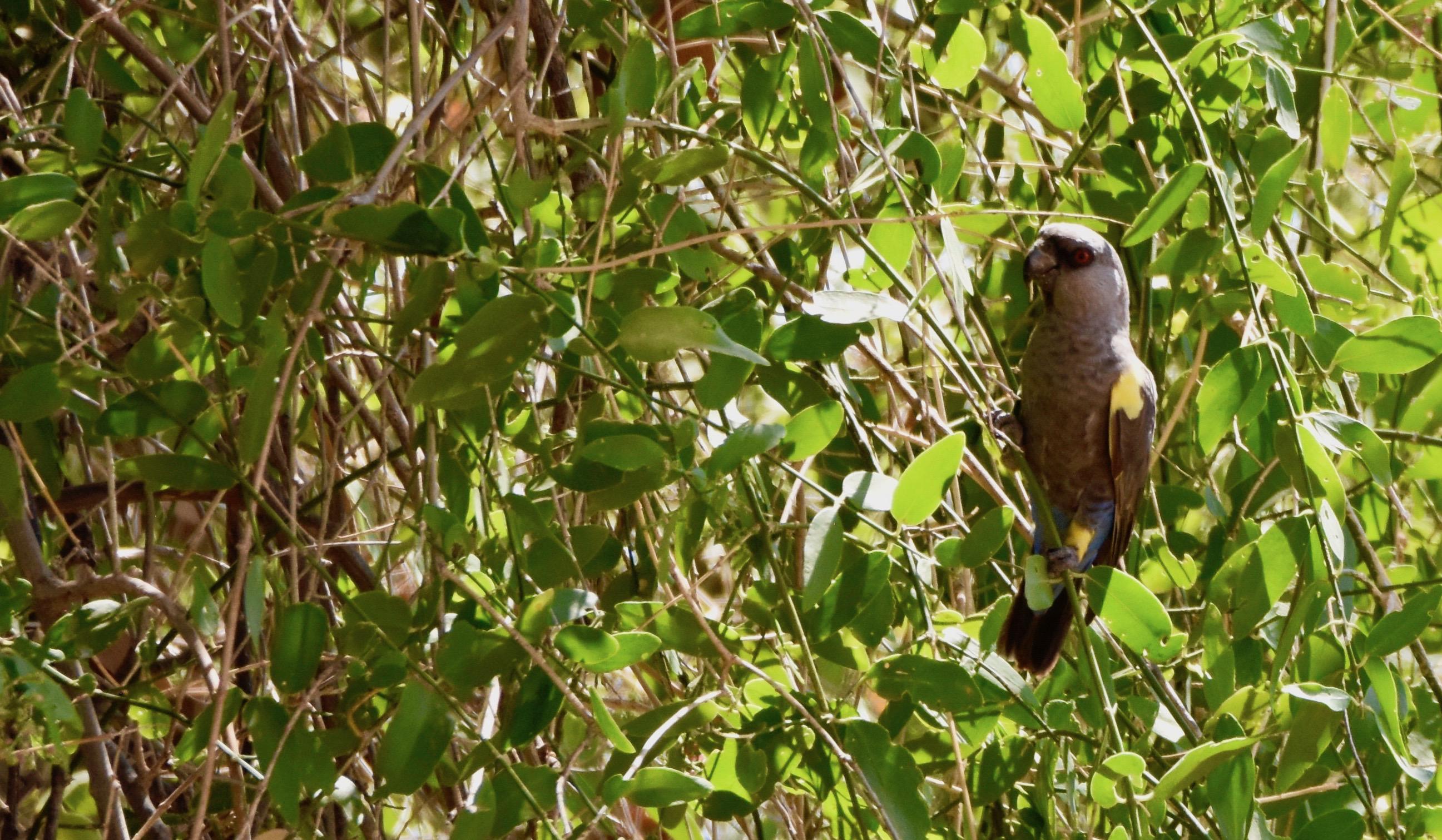 Ruppell's Parrot, Damaraland