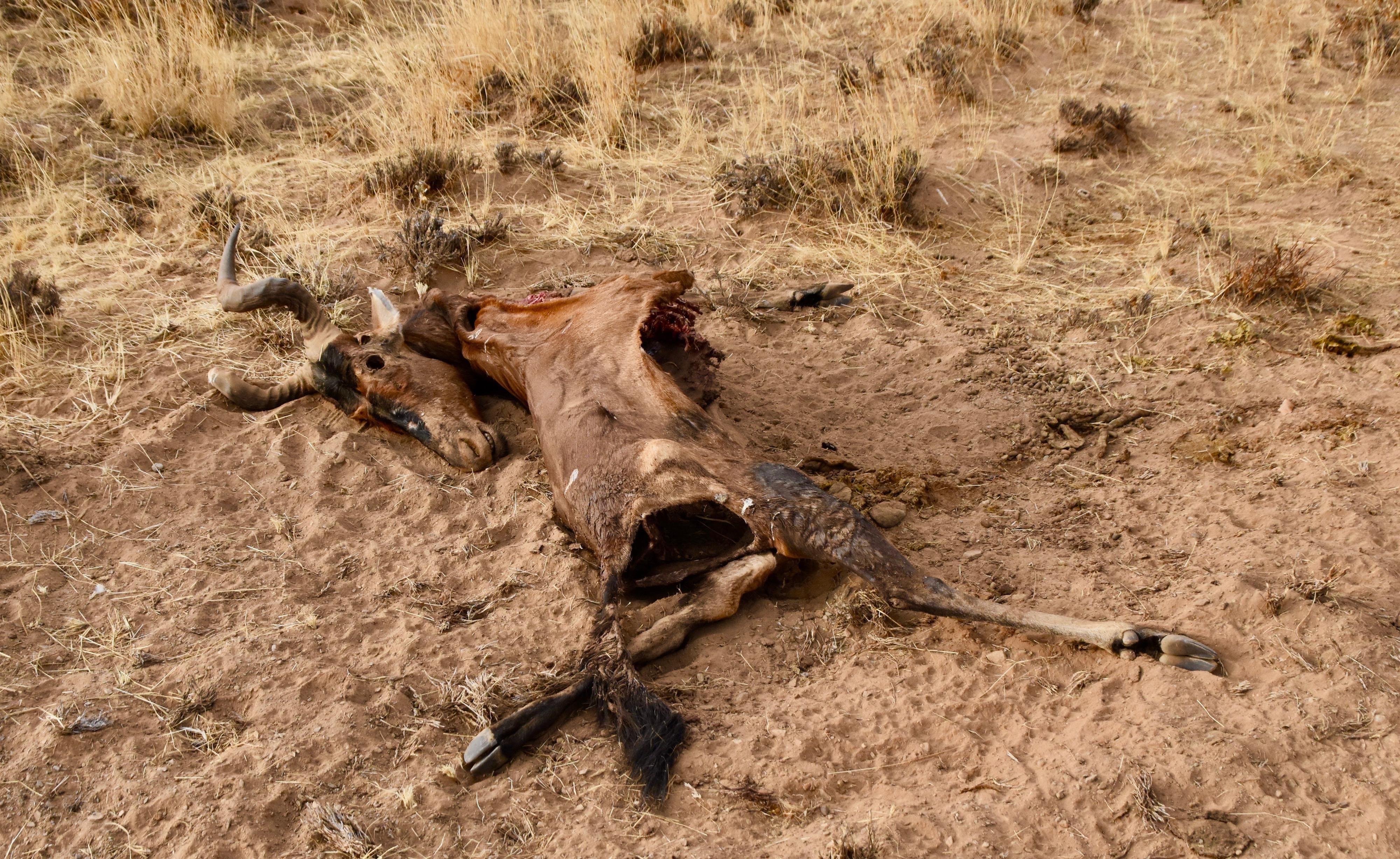 Red Hartebeest Corpse, Damaraland