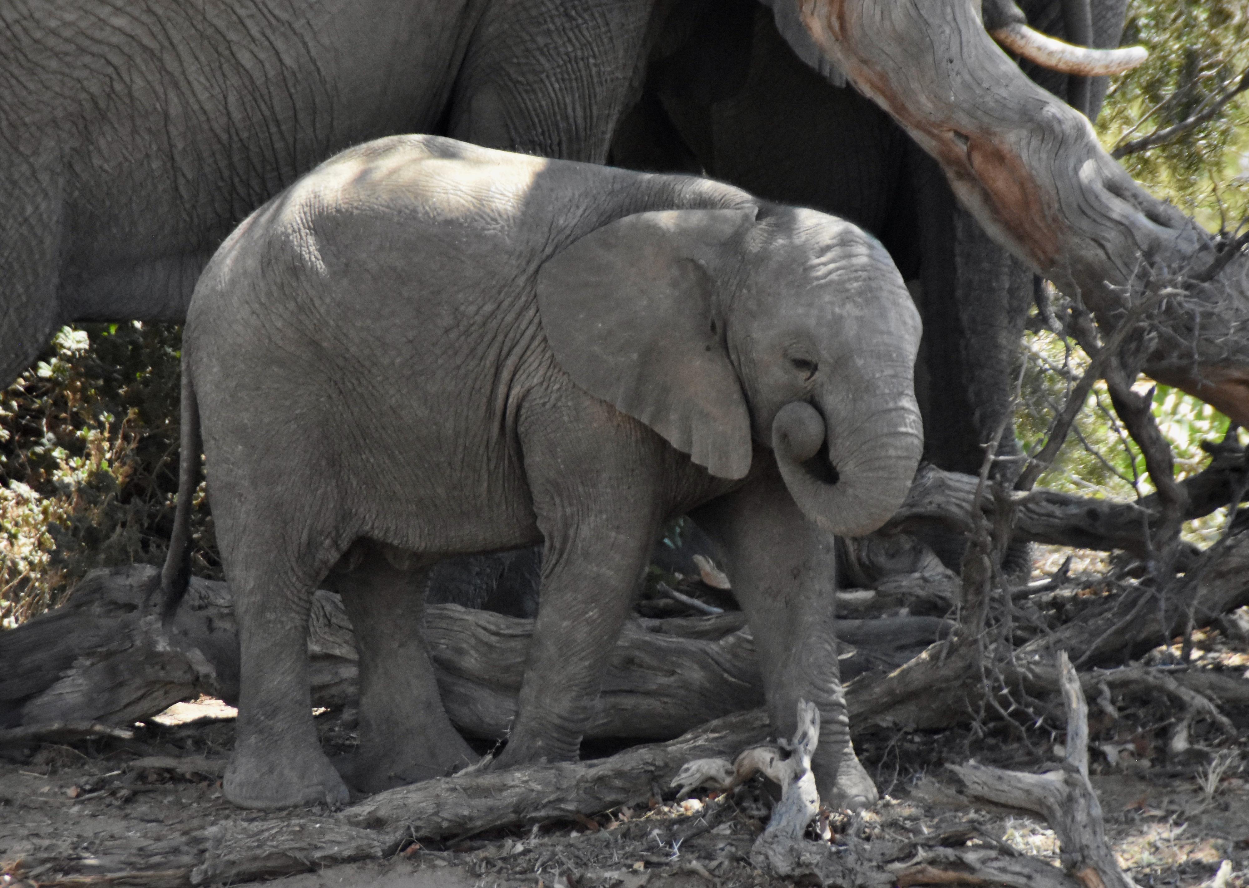 Baby Elephant, Damaraland