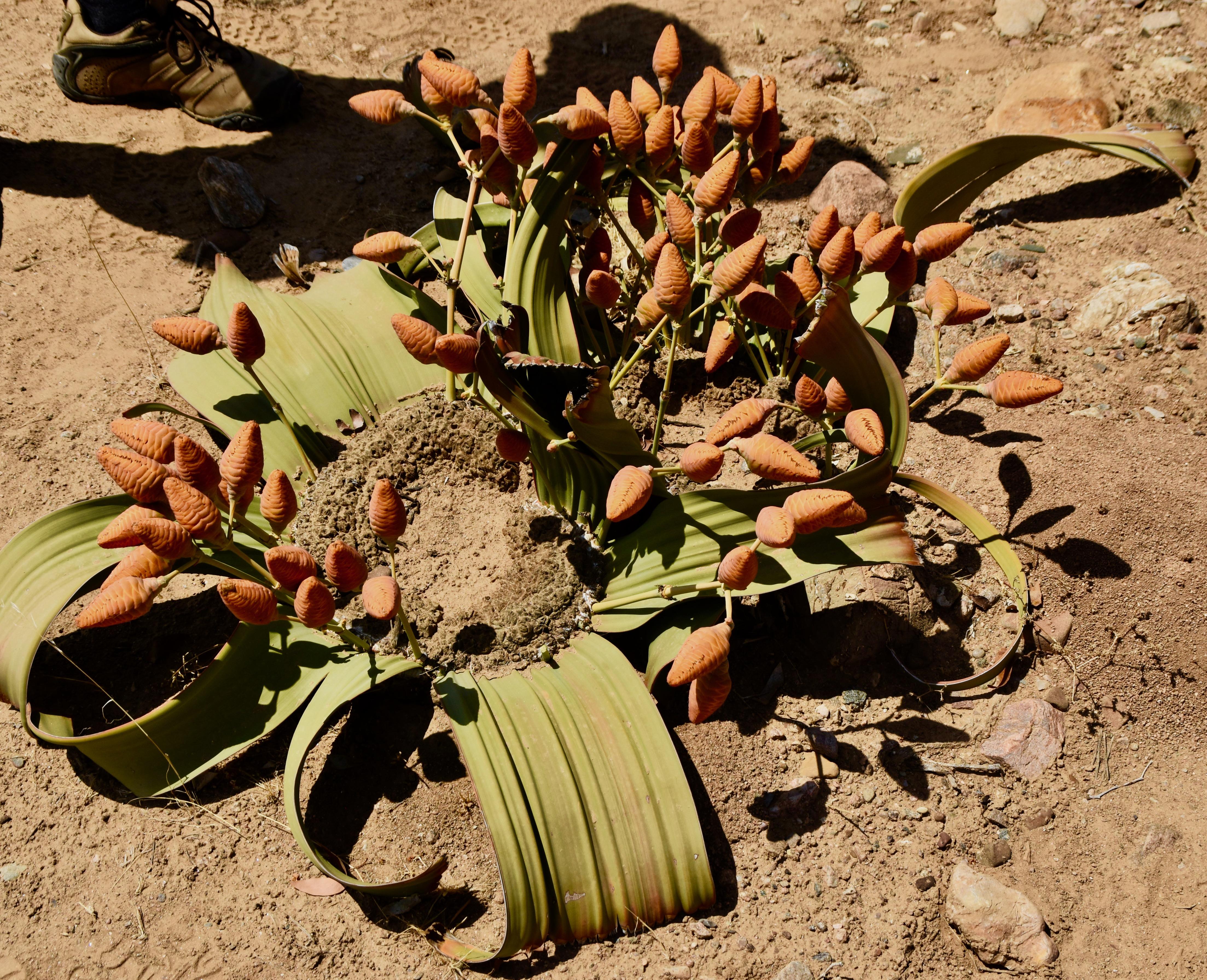 Female Welwitschia, Damaraland