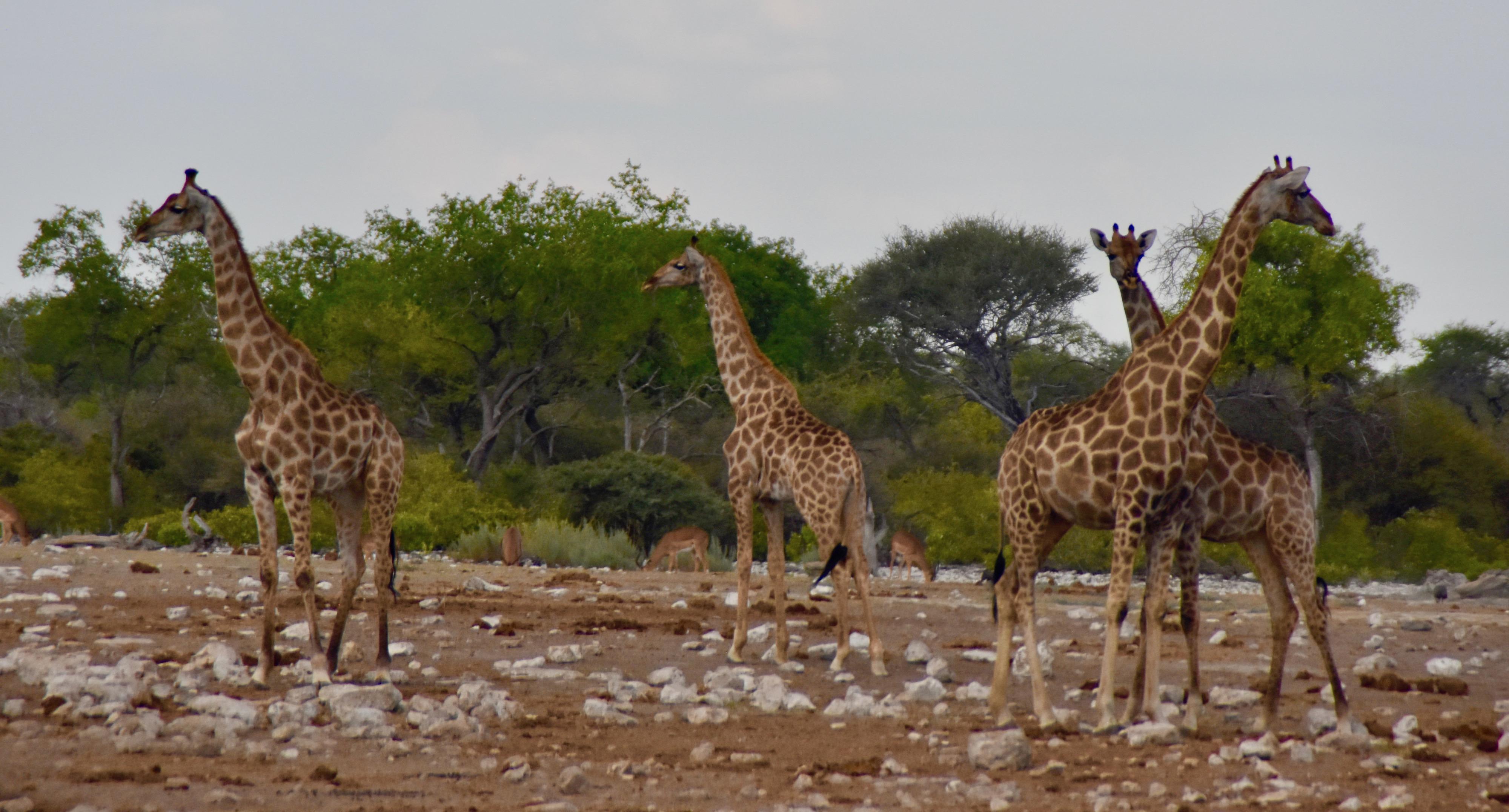 Etosha Giraffes