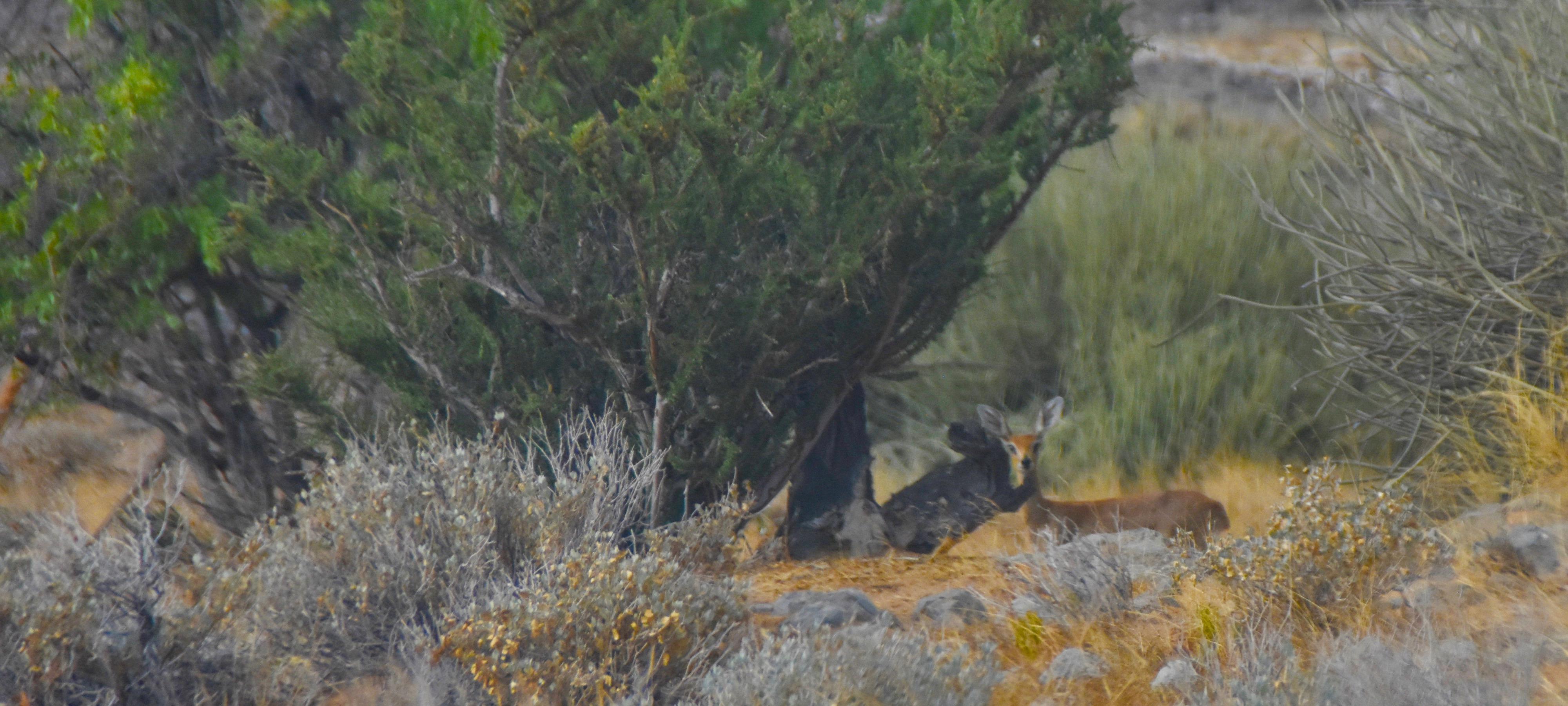 Steenbok, Damaraland