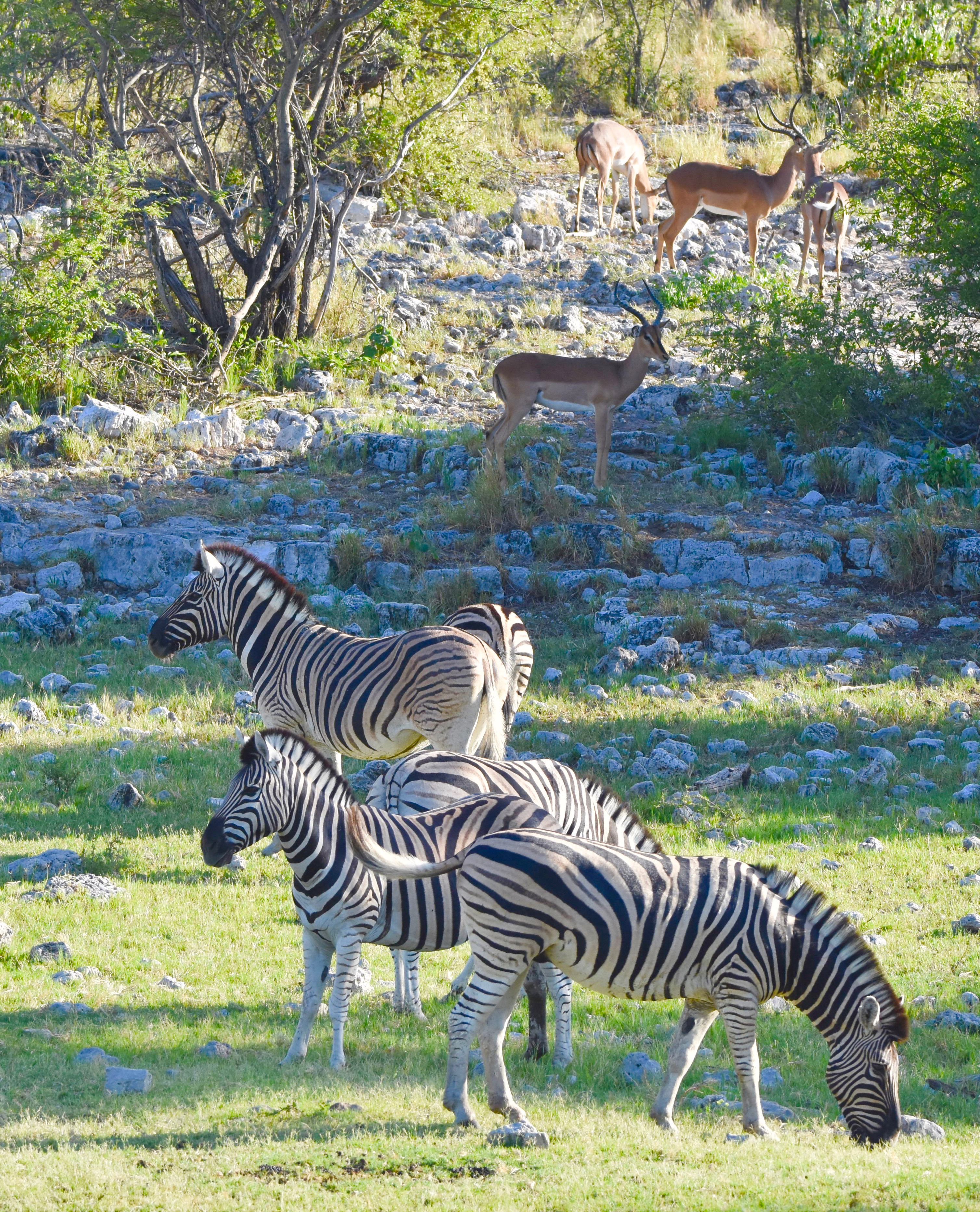 Zebras & Impalas, Etosha Water Holes