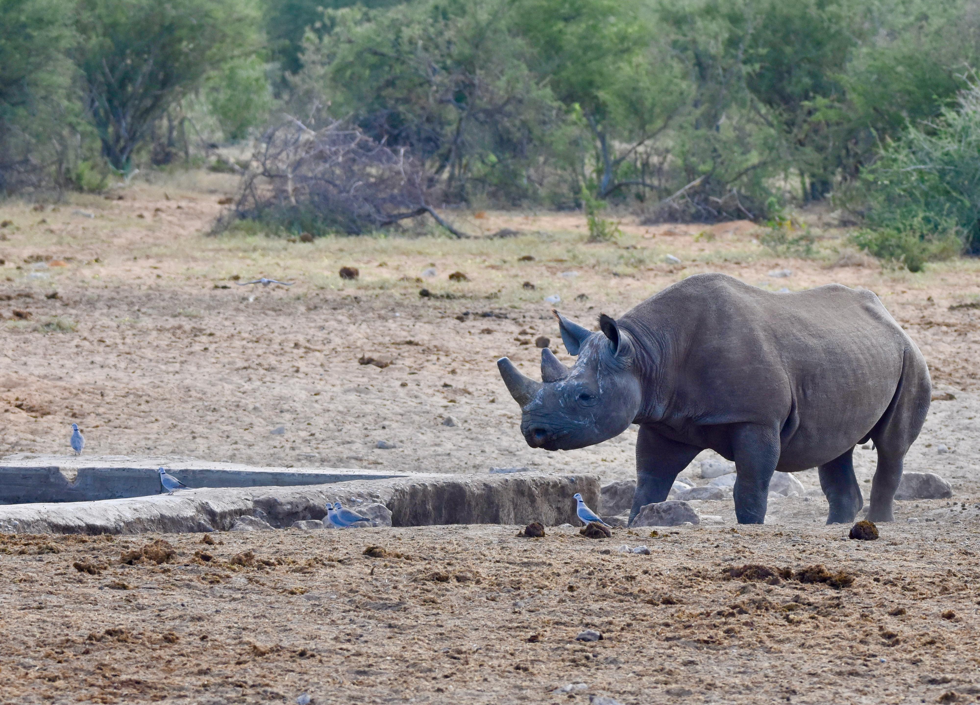 Black Rhino, Etosha Water Holes