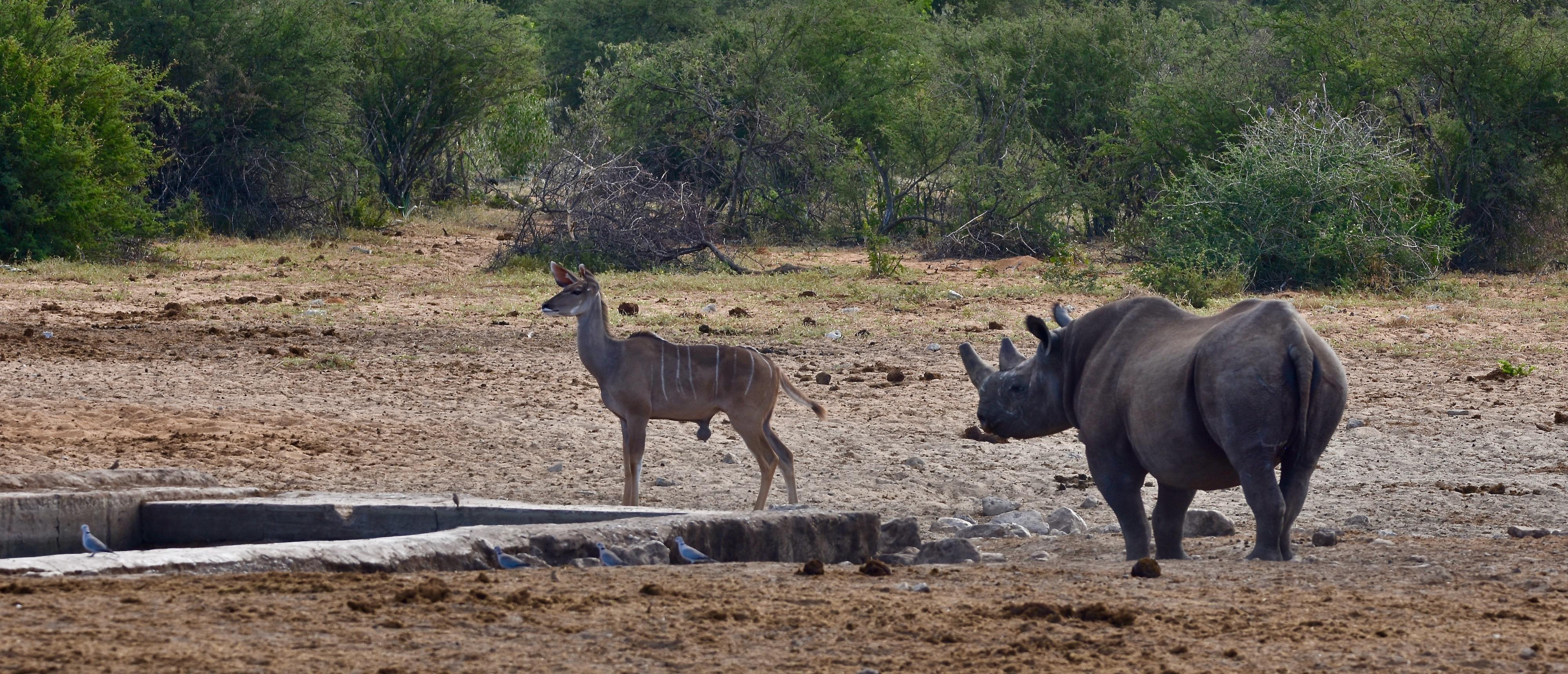 Rhino & Kudu, Etosha Water Holes