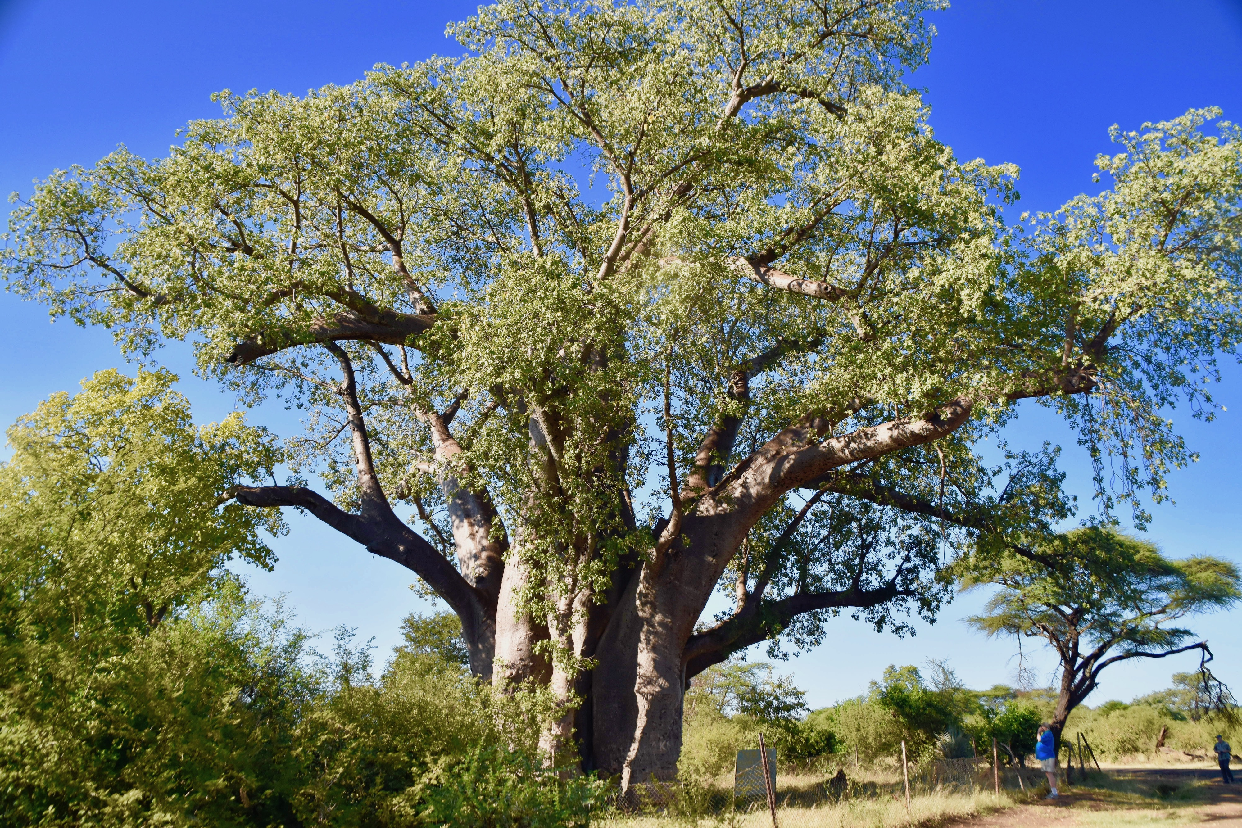 1200 Year Old Baobab