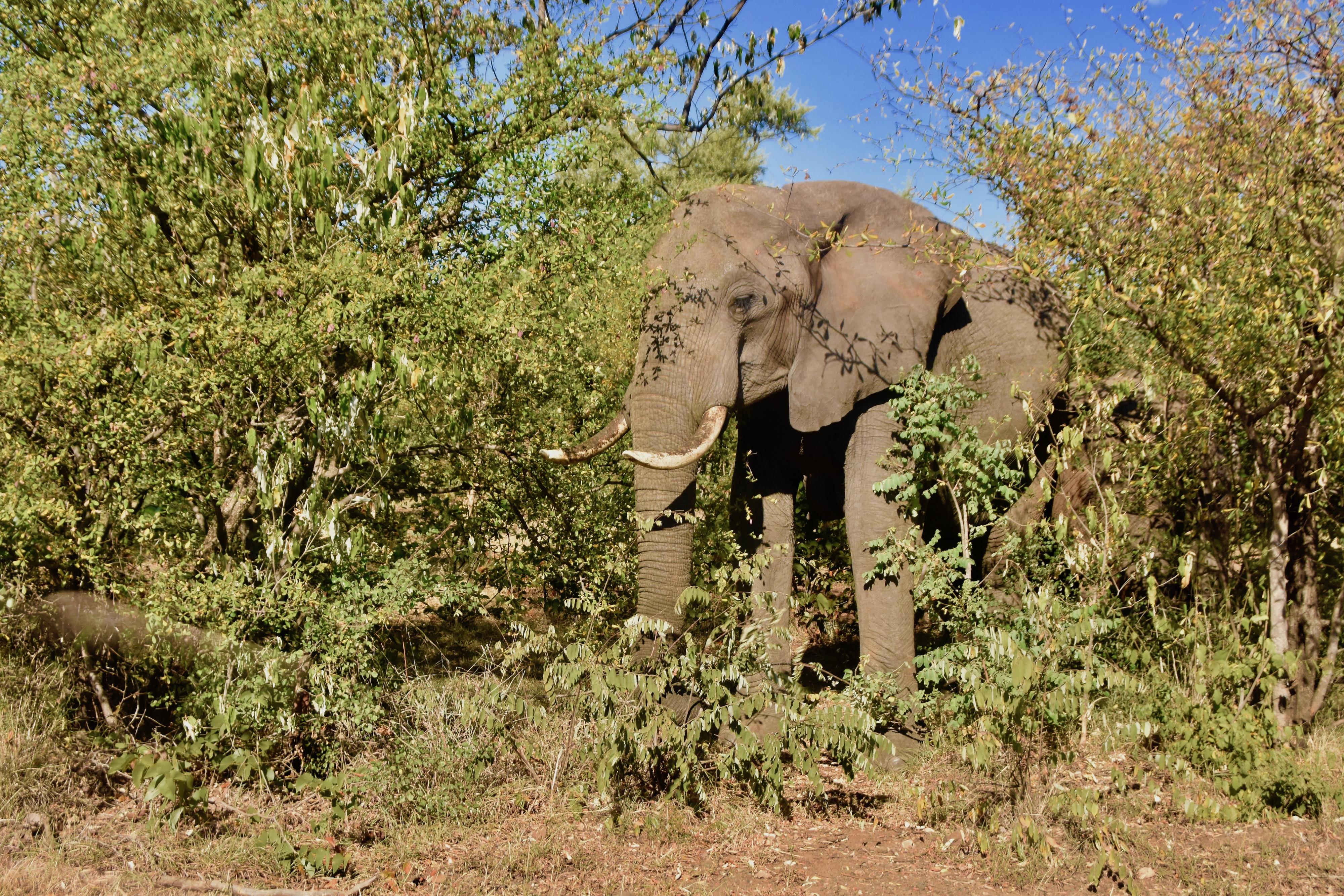 Victoria Falls Elephant