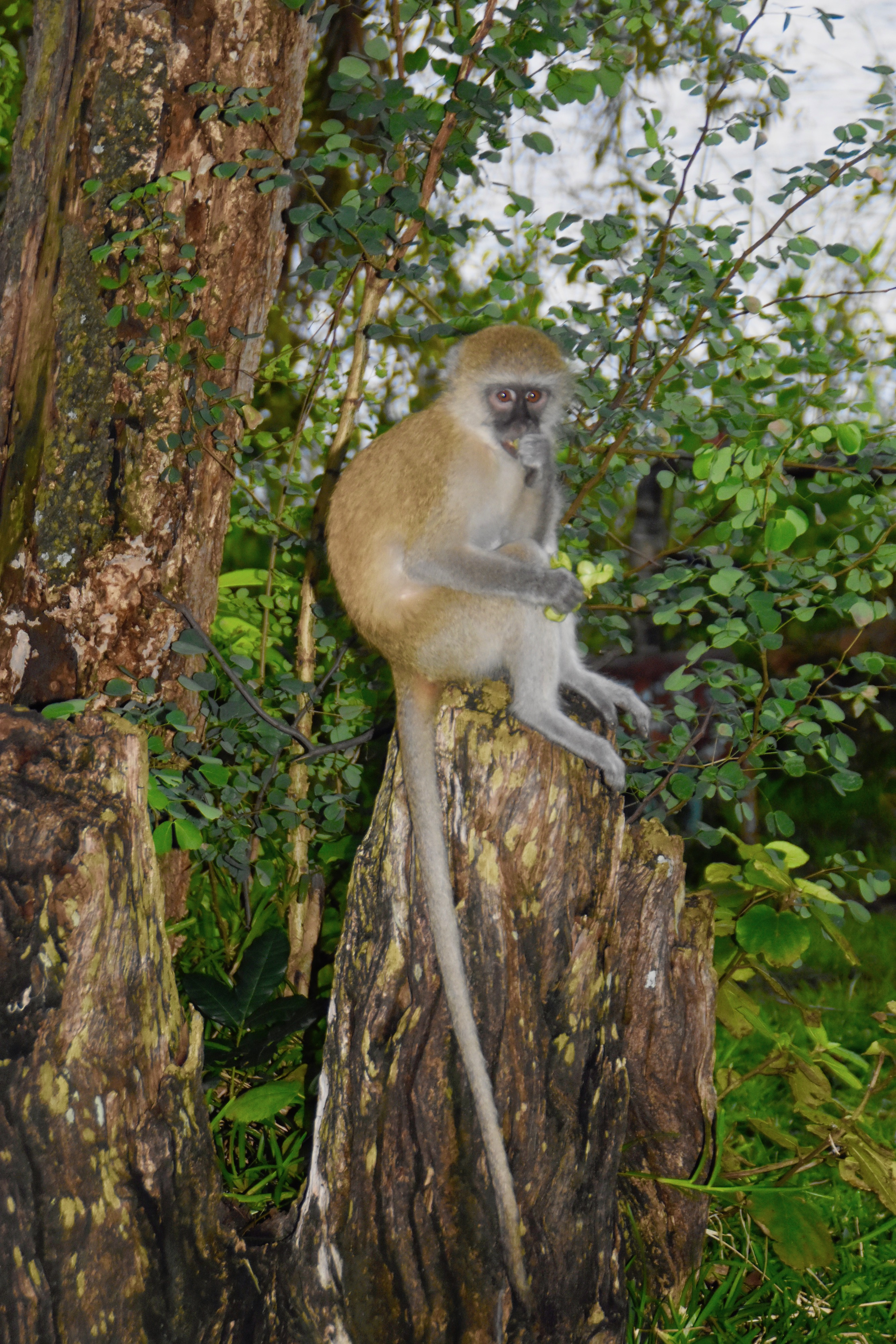 Monkey at A'Zambezi Lodge