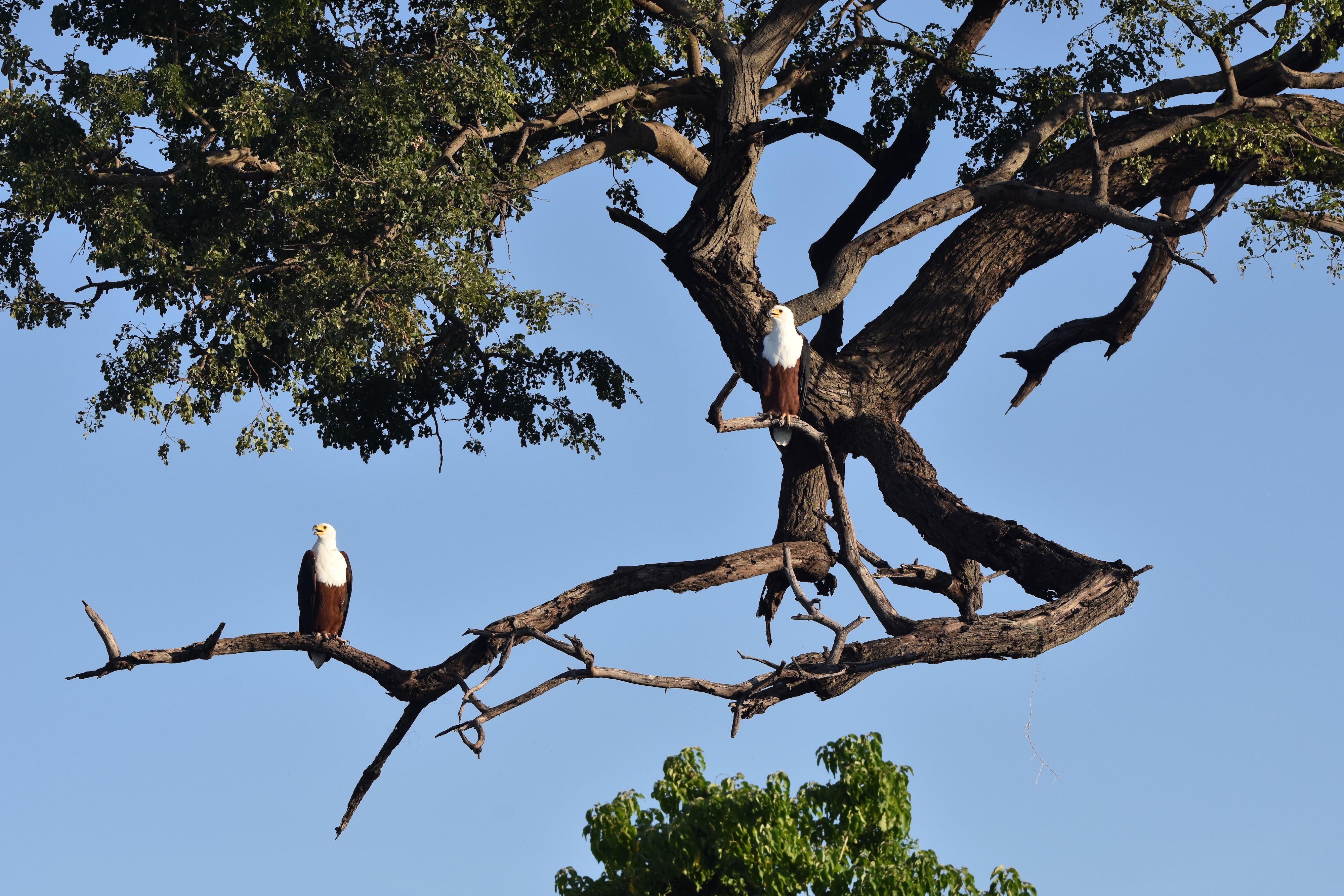 Fish Eagles on the Chobe River