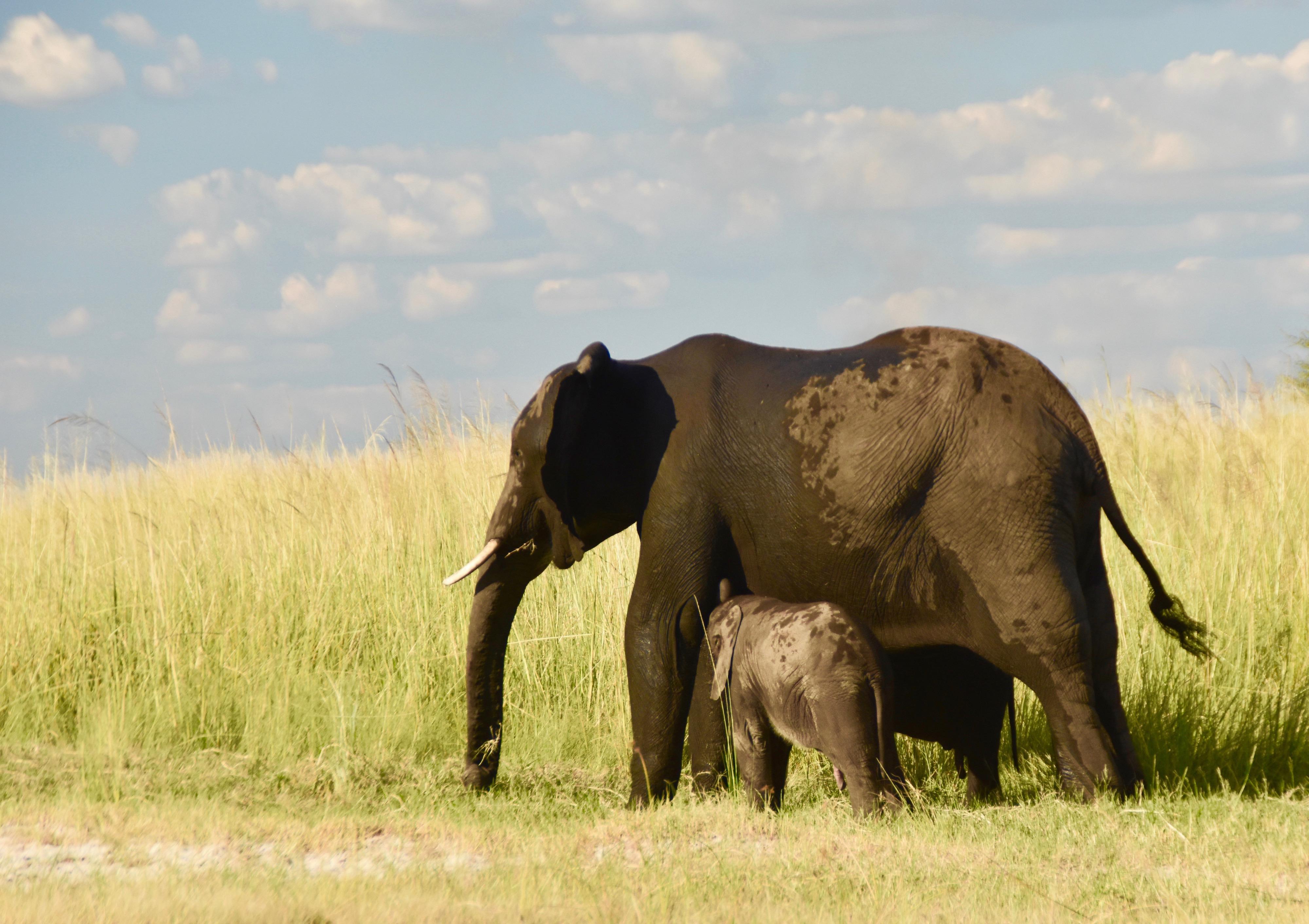 Chobe River Elephant and Child