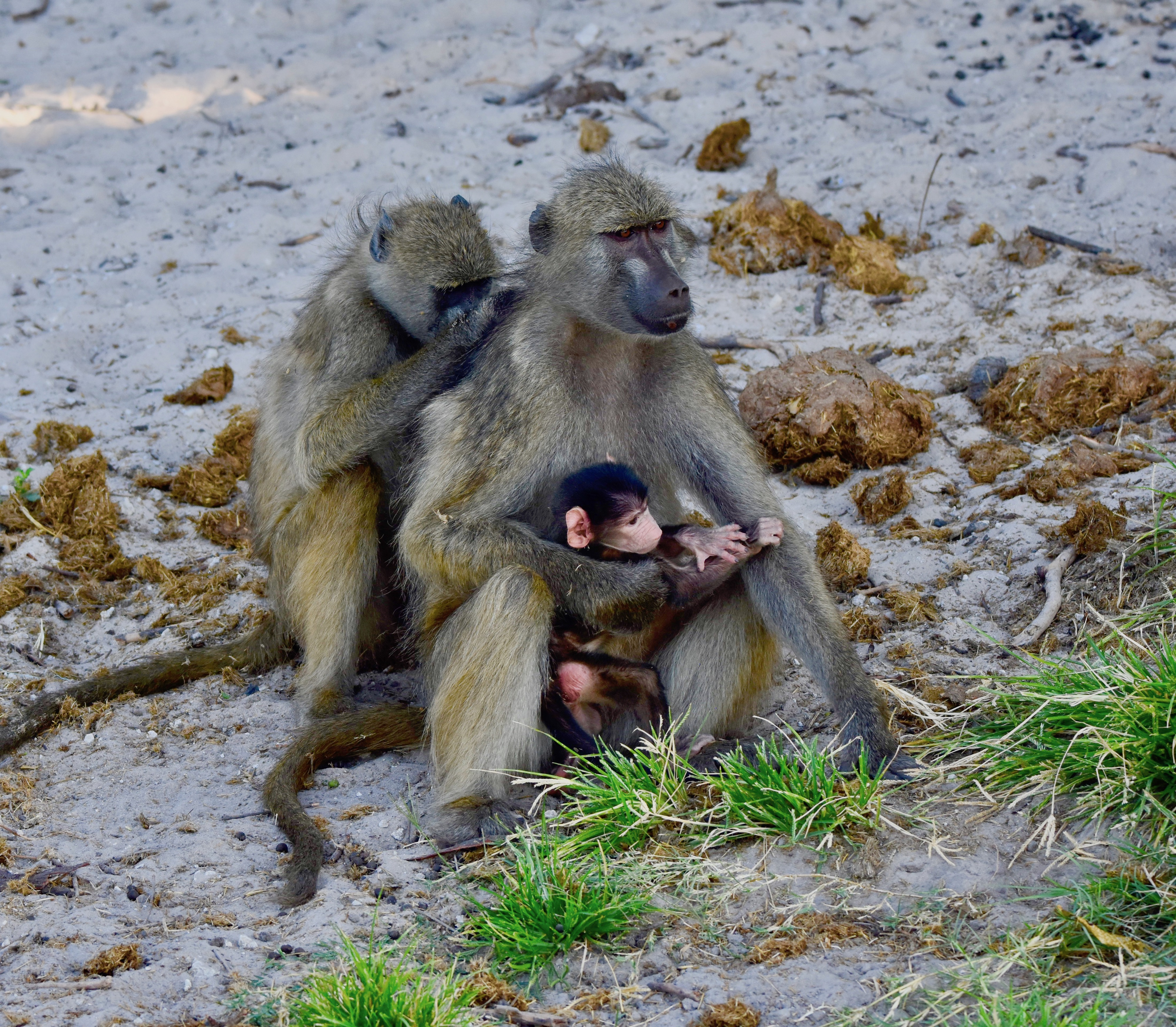 Baboons on the Chobe River