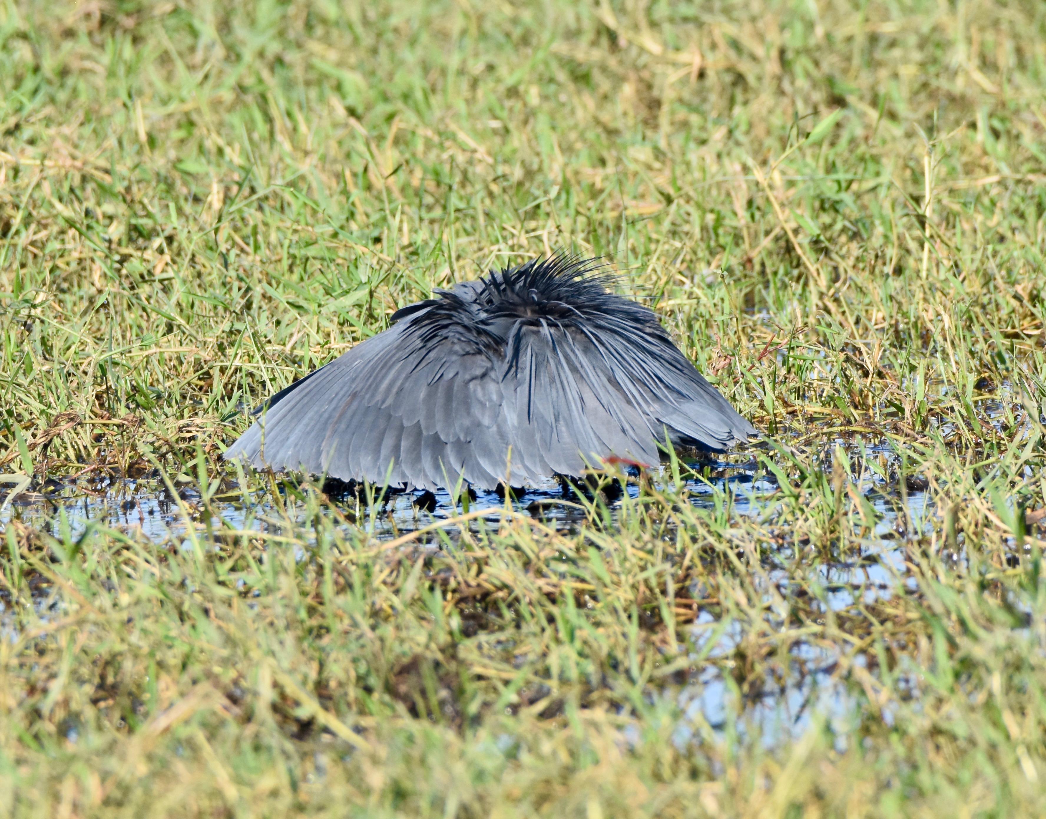 Black Heron as Umbrella Bird, Chobe River