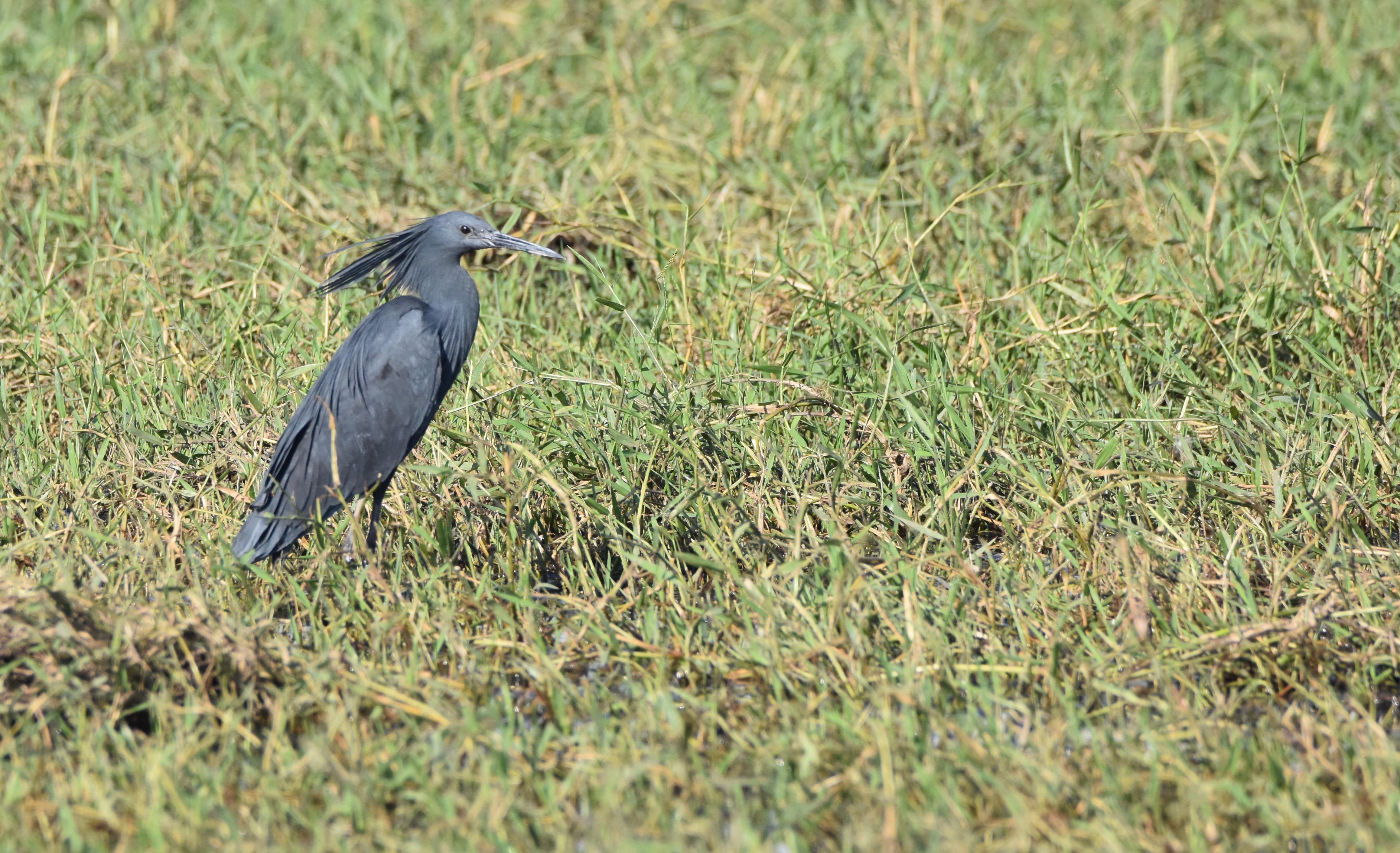 Chobe River Black Heron