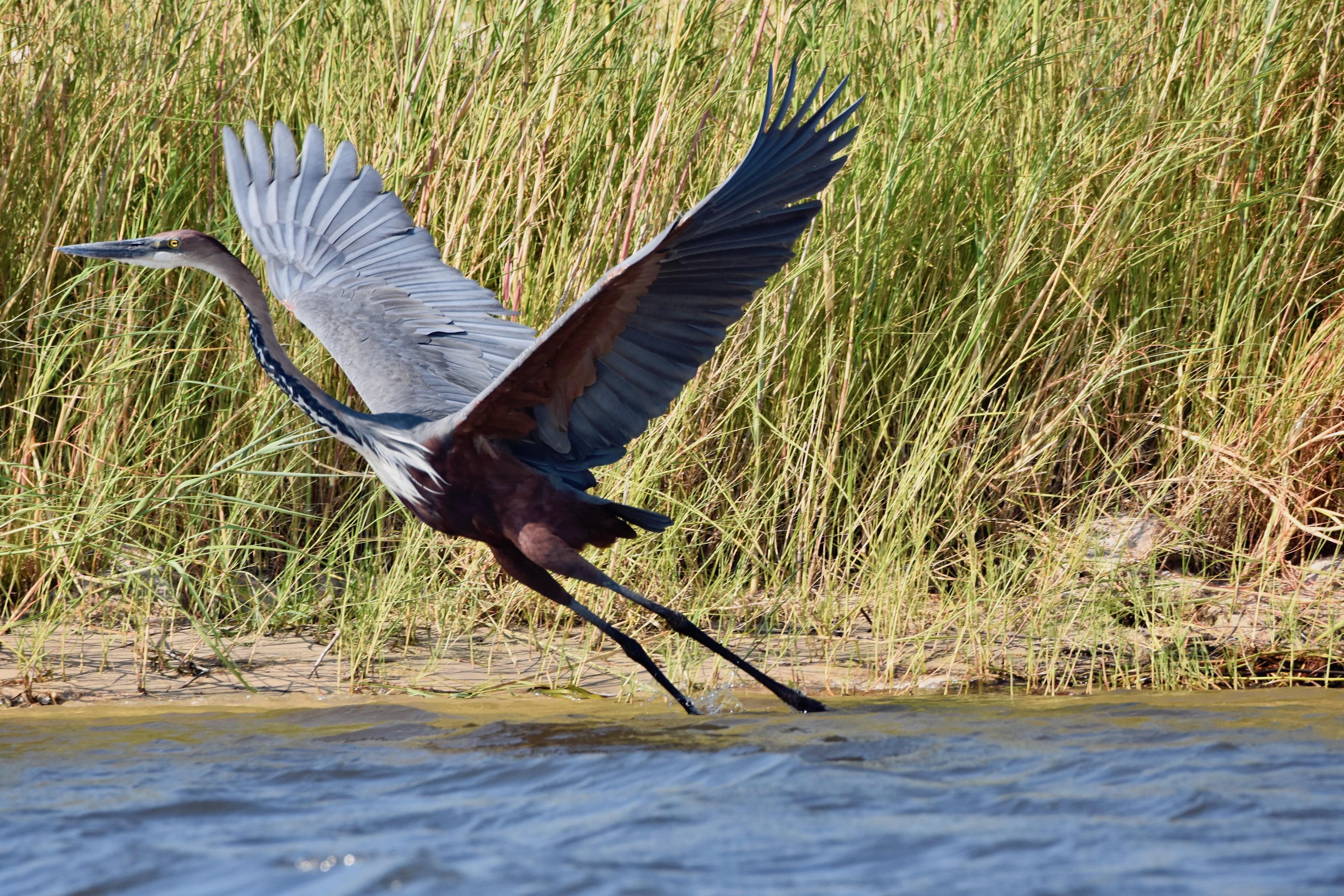 Goliath Heron, Chobe River