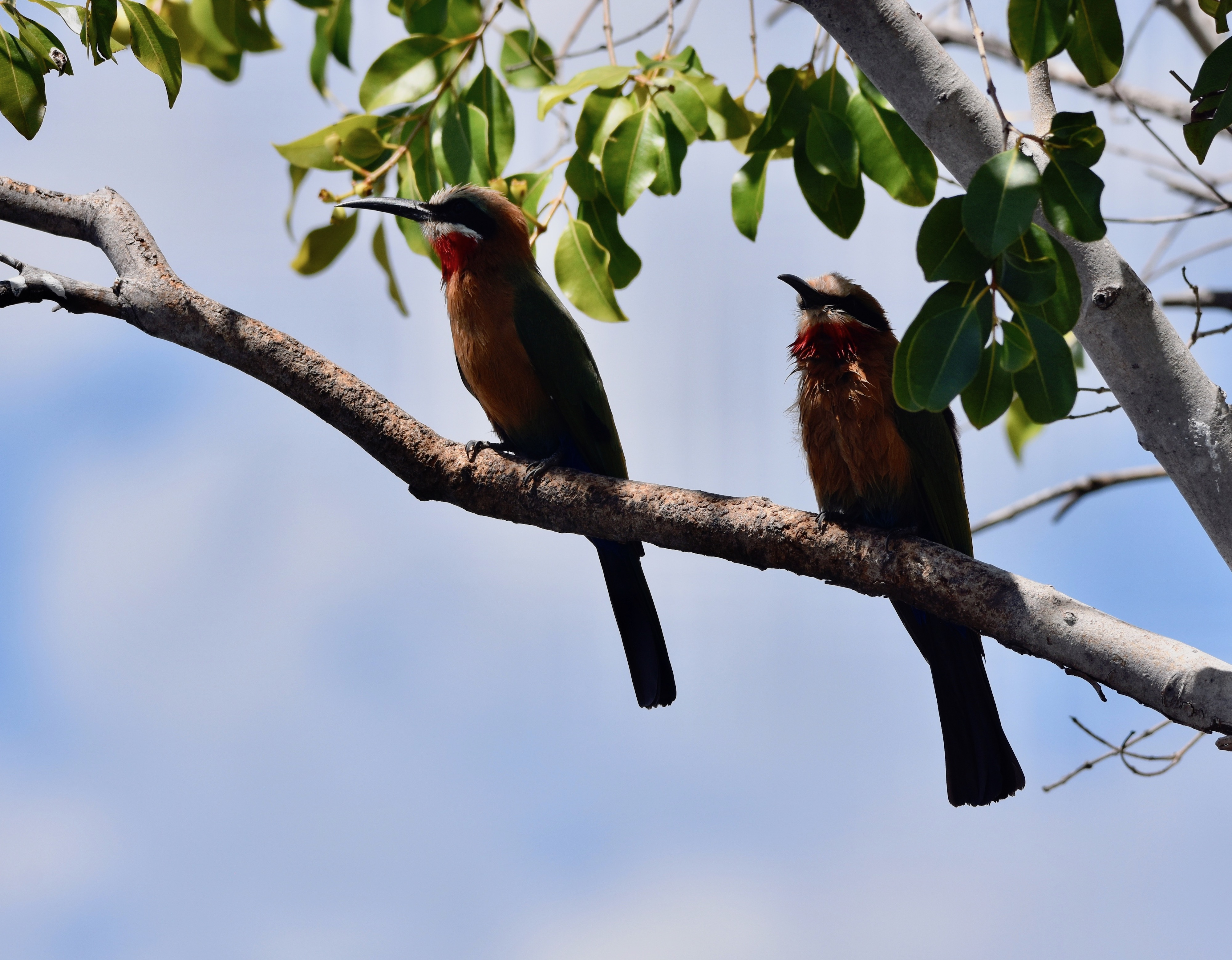 White-Fronted Bee Eater Pair, Chobe River