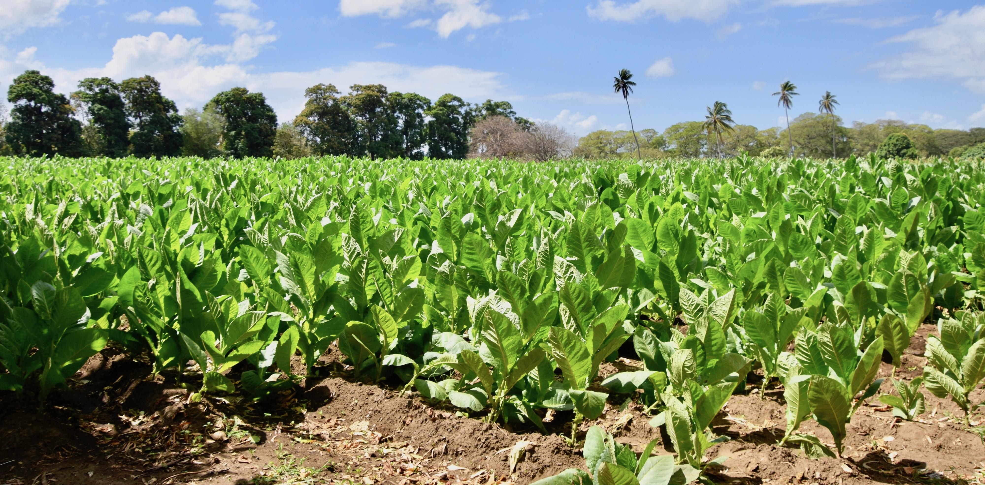 Tobacco Field, Ometepe