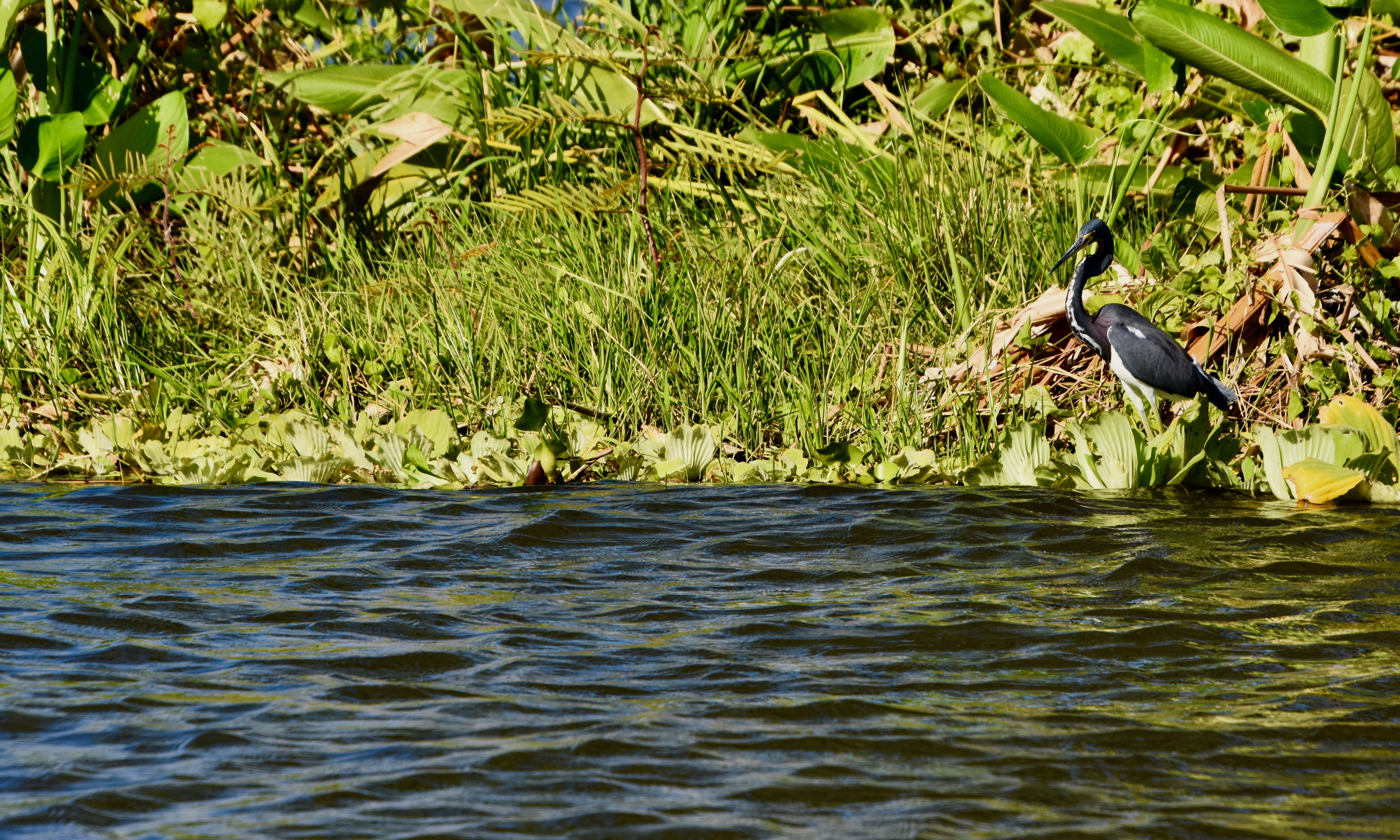 Tiger Heron, Los Isletas