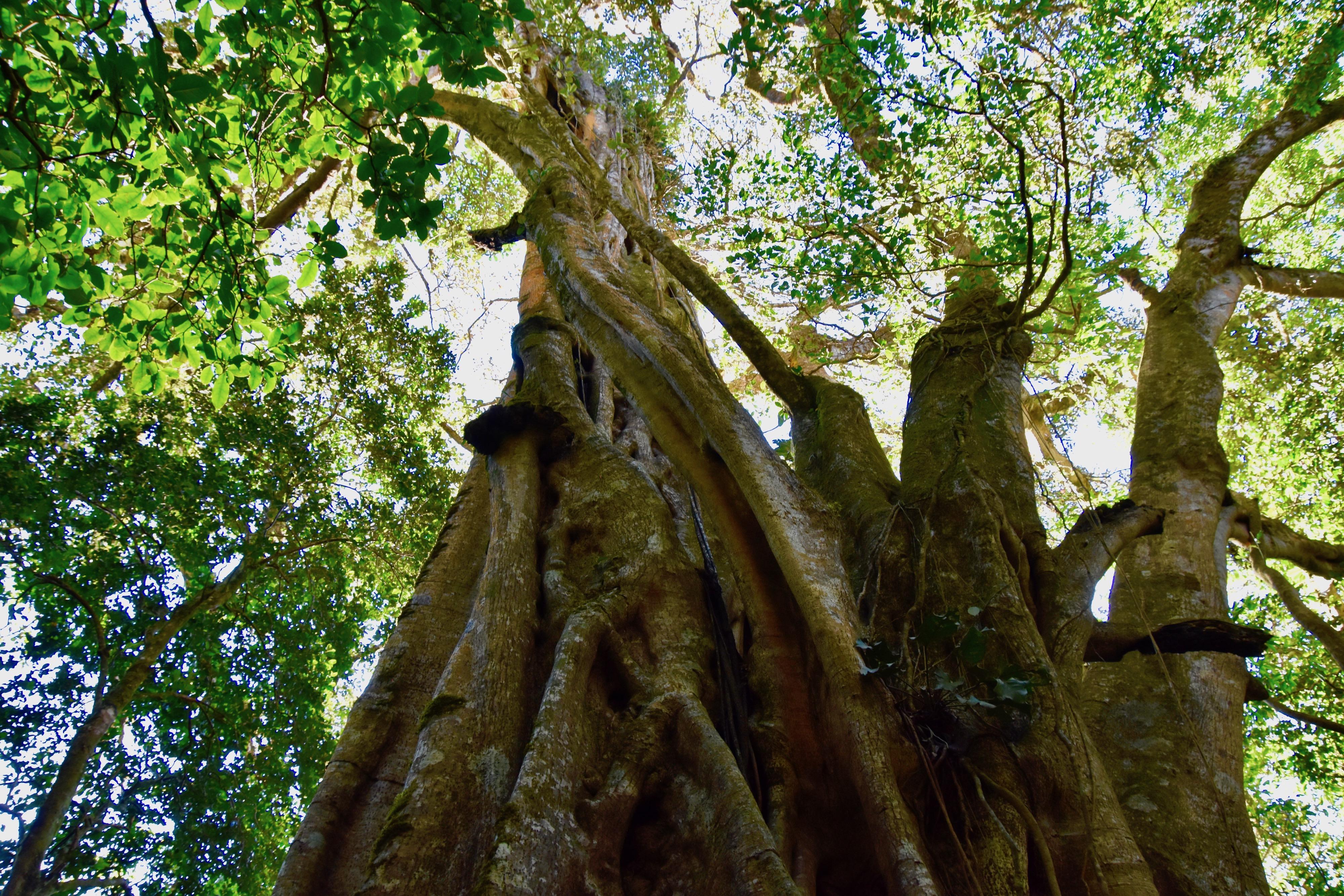 Giant Fig Tree, Monteverde