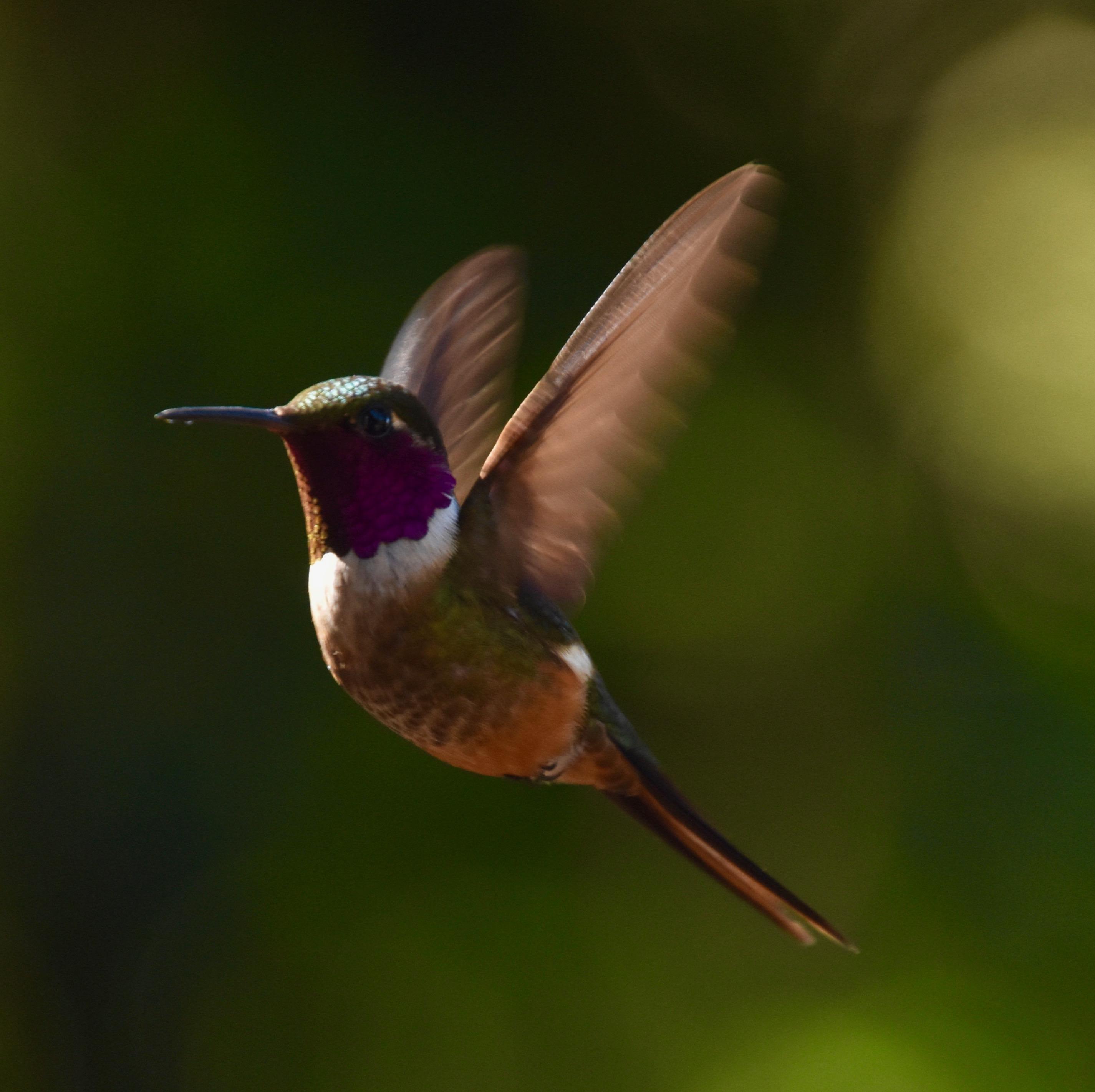 Magenta-Throated Woodstar, Monteverde