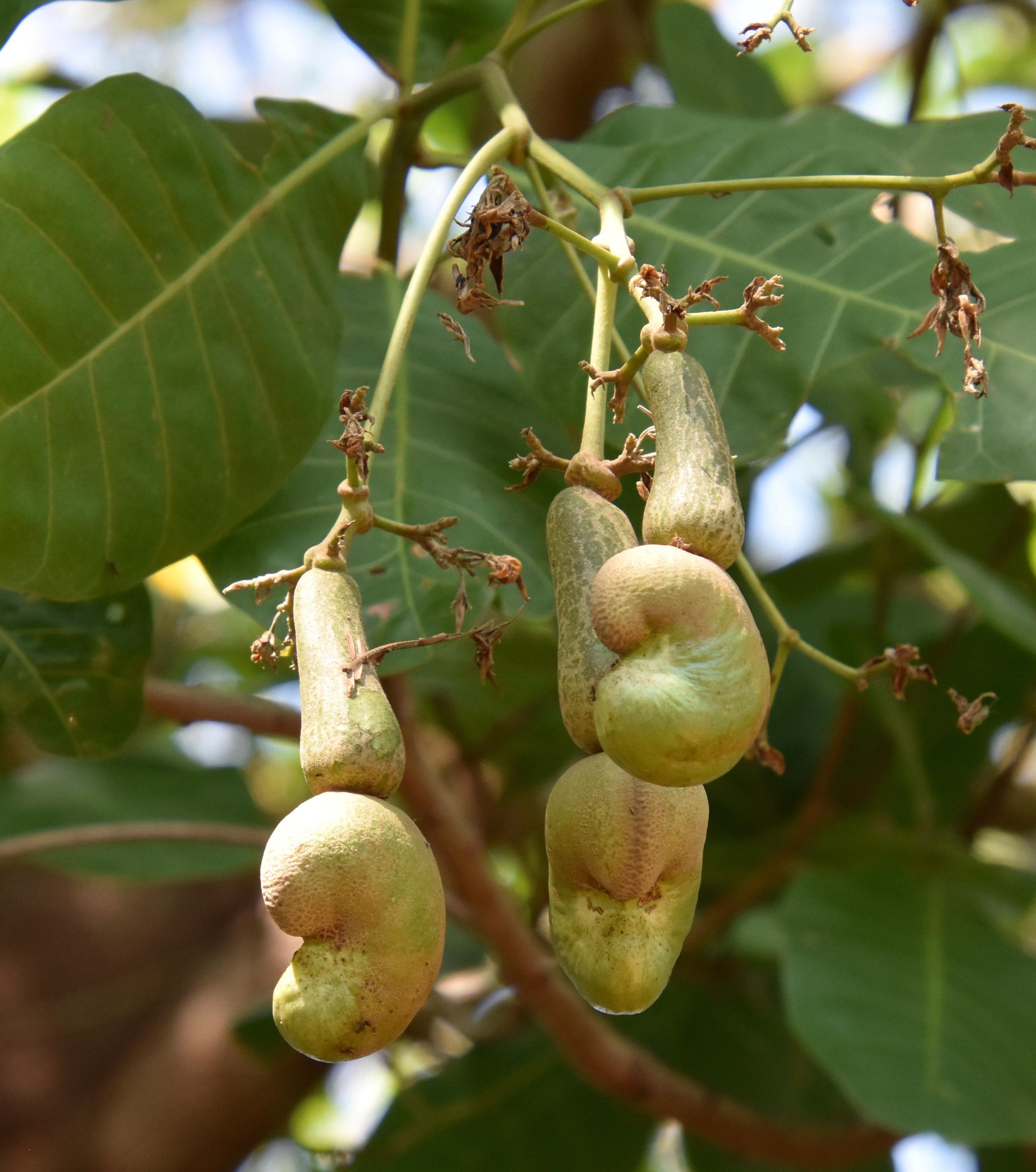 Indigo farm cashew nuts
