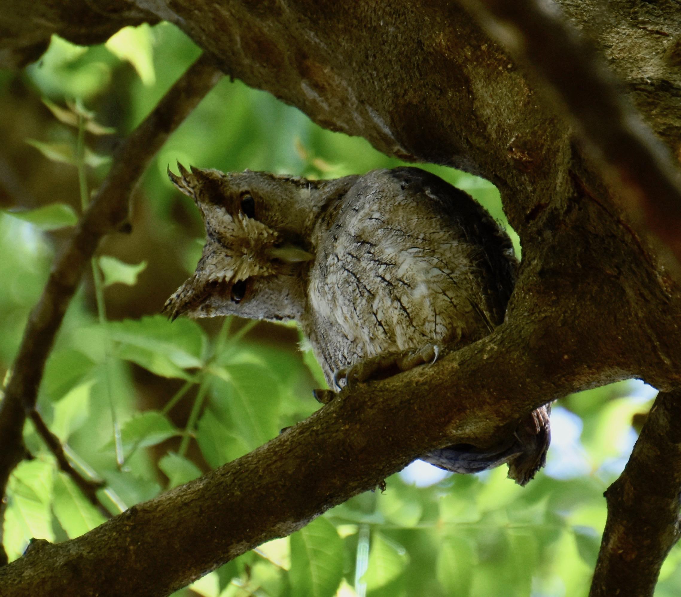 Pacific Screech Owl, Indigo Farm
