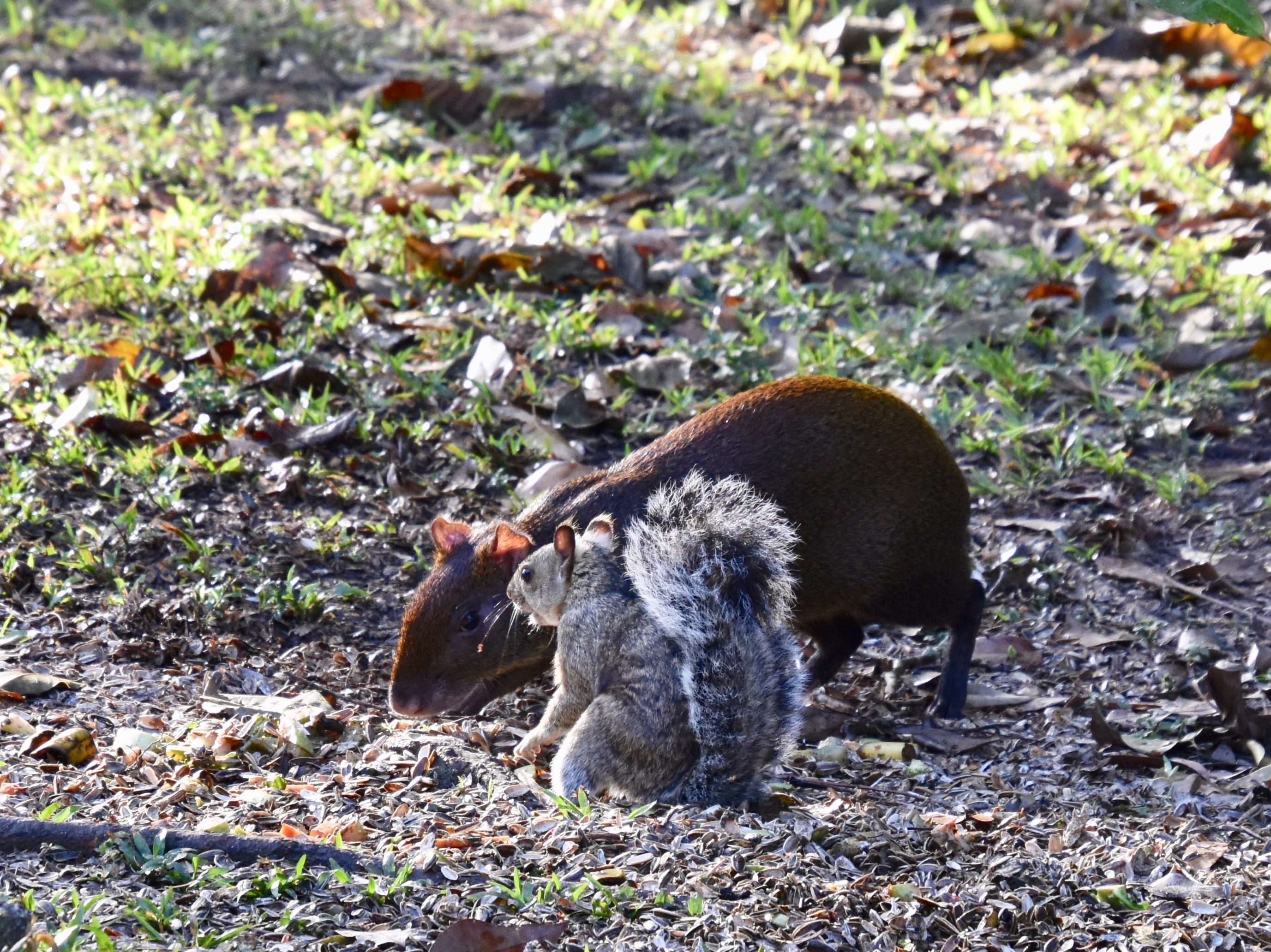 Agouti & Squirrel, Copan