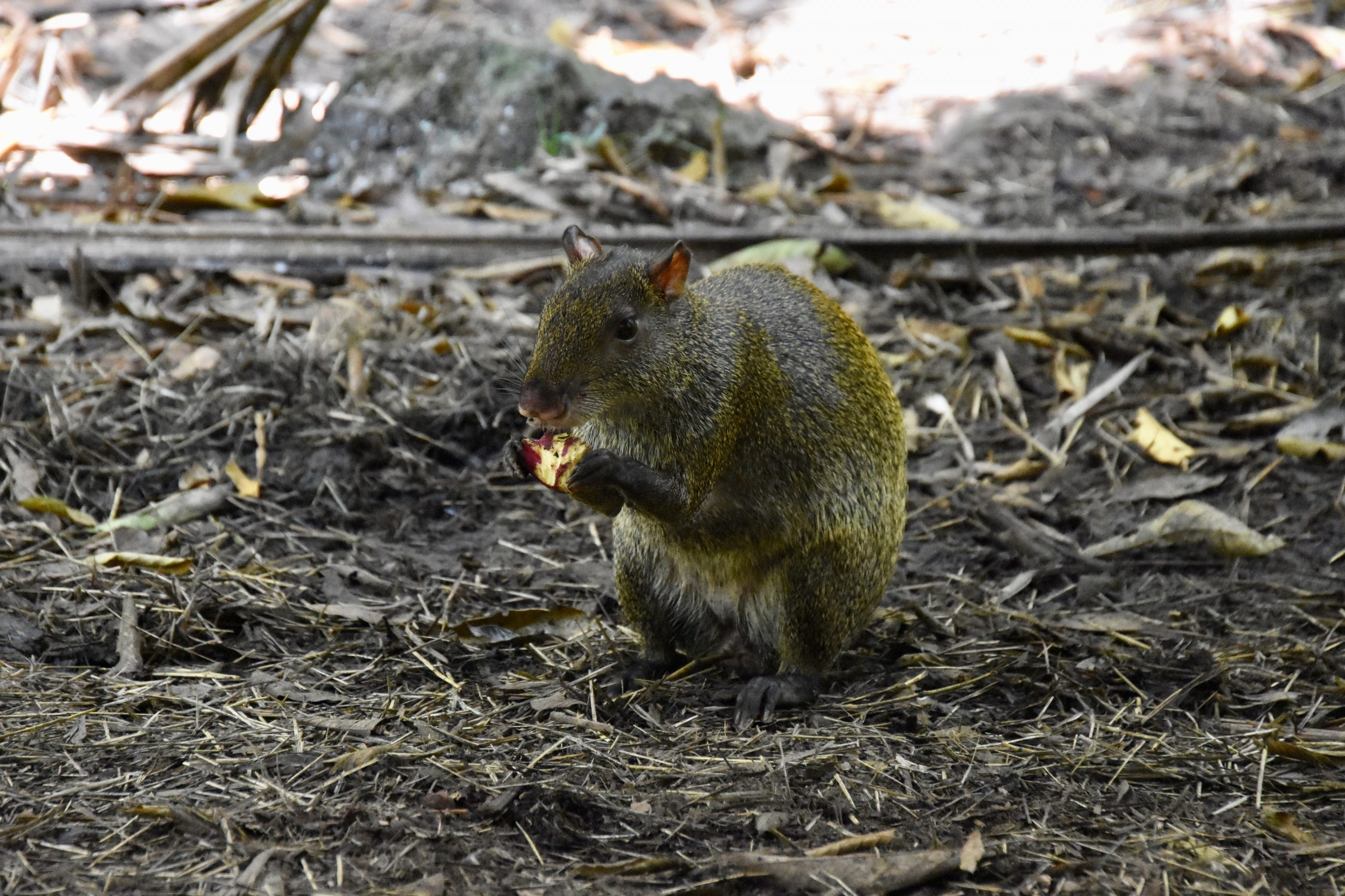 Agouti, Belize Zoo