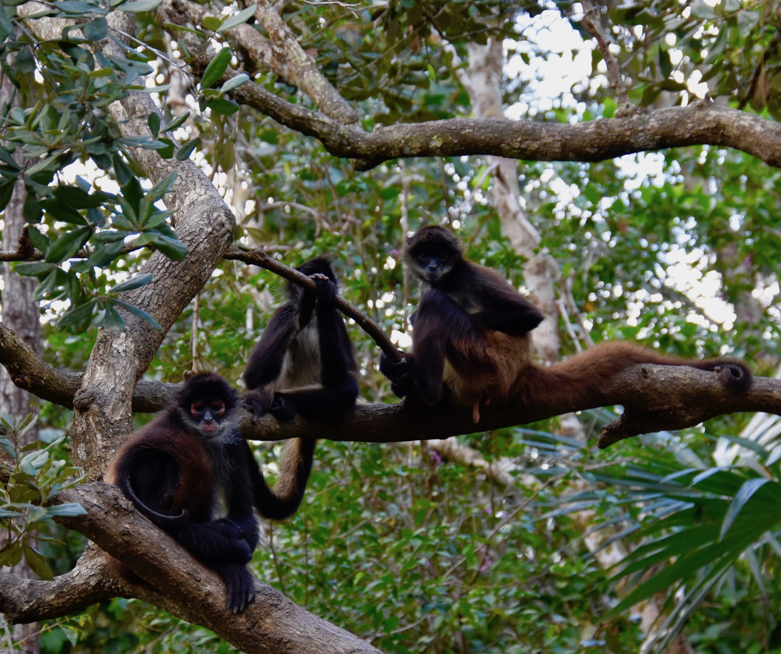 Spider Monkey Trio, Belize Zoo